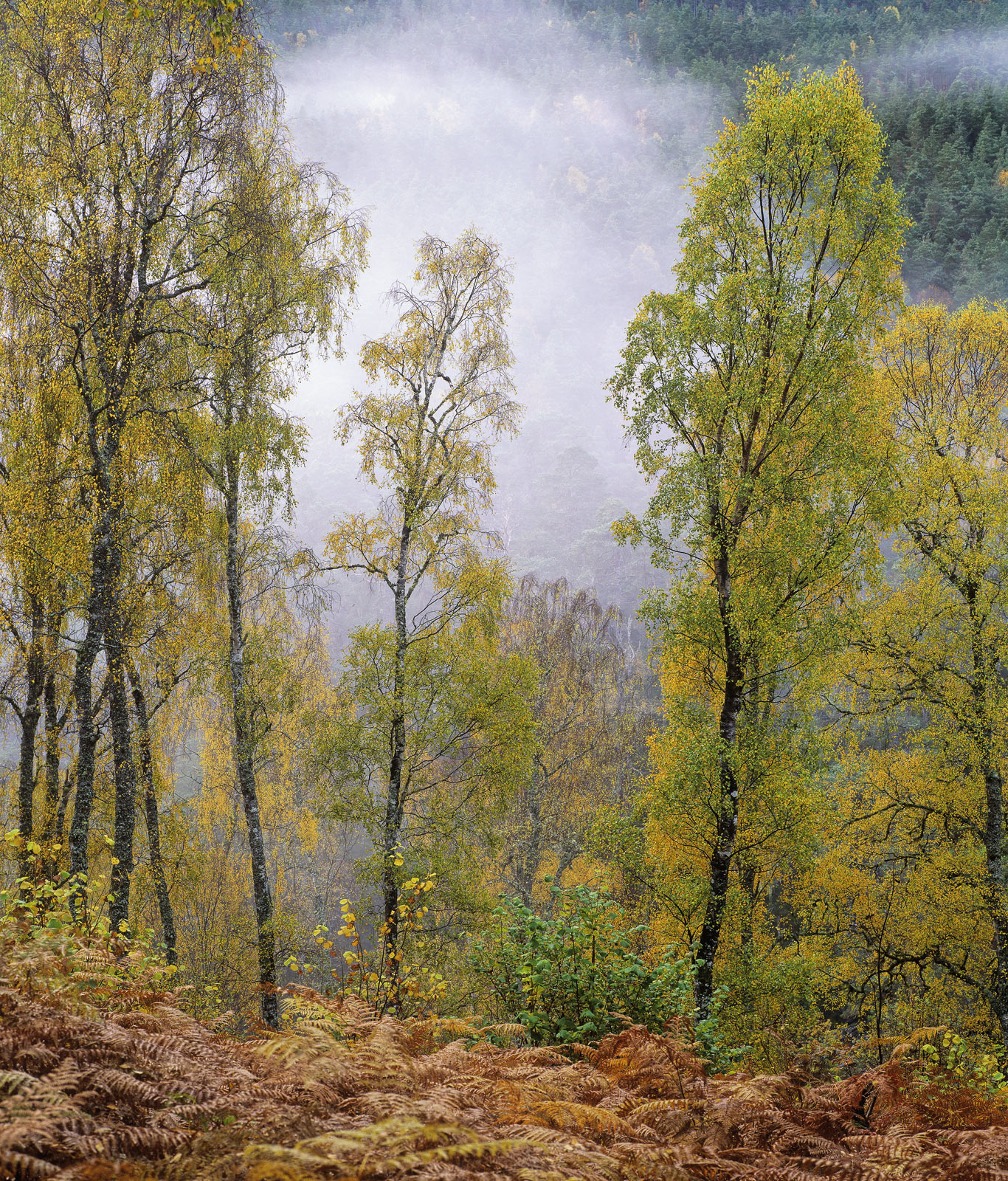 Autumn colours at Glen Affric and its two associates Strathfarrar and Cannich is a sight to behold, the woodland is a mix of...
