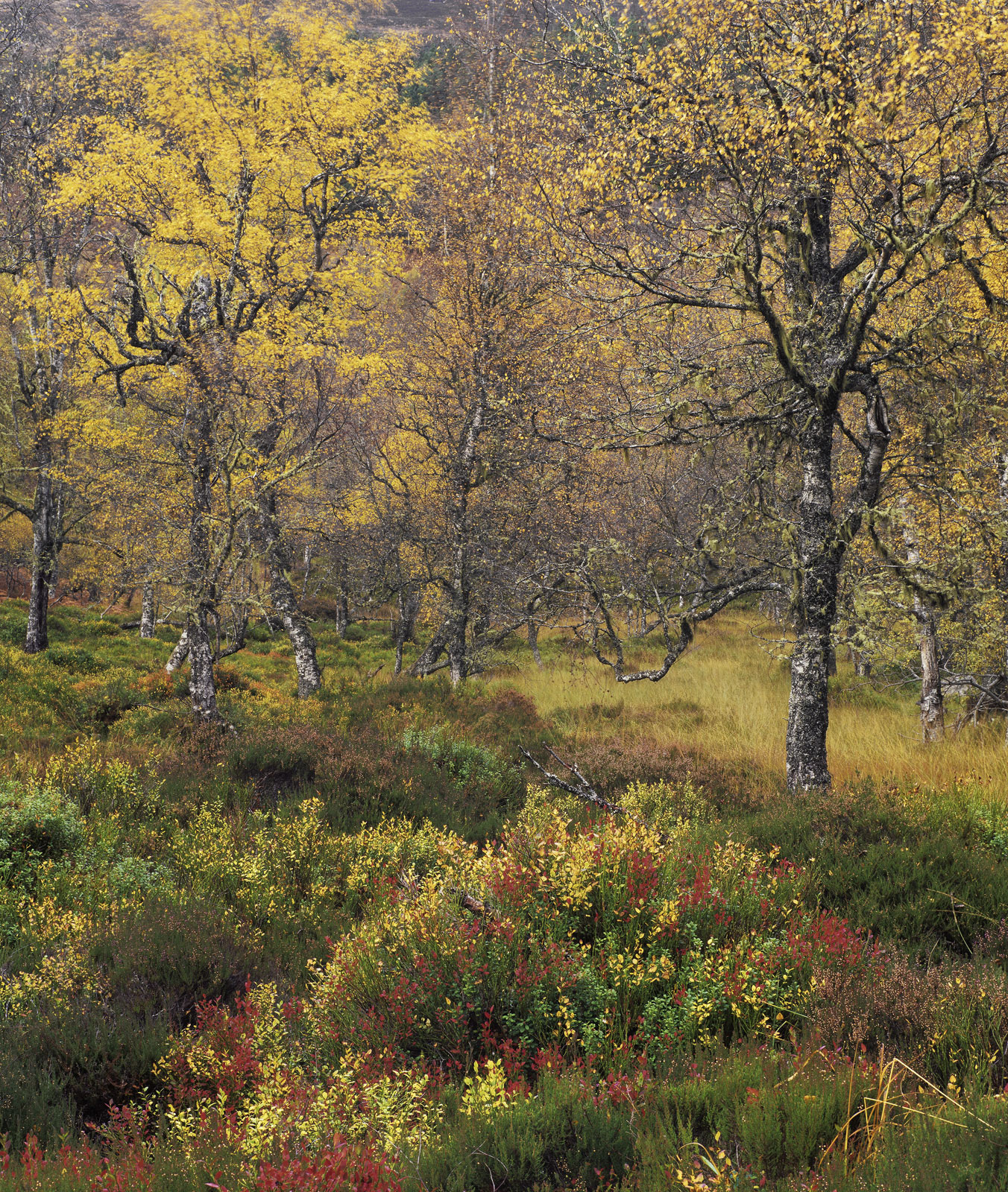 Birch and Blaeberry, Glen Affric, Highland, Scotland, woodland, contrast, separation, dazzling, colours , photo