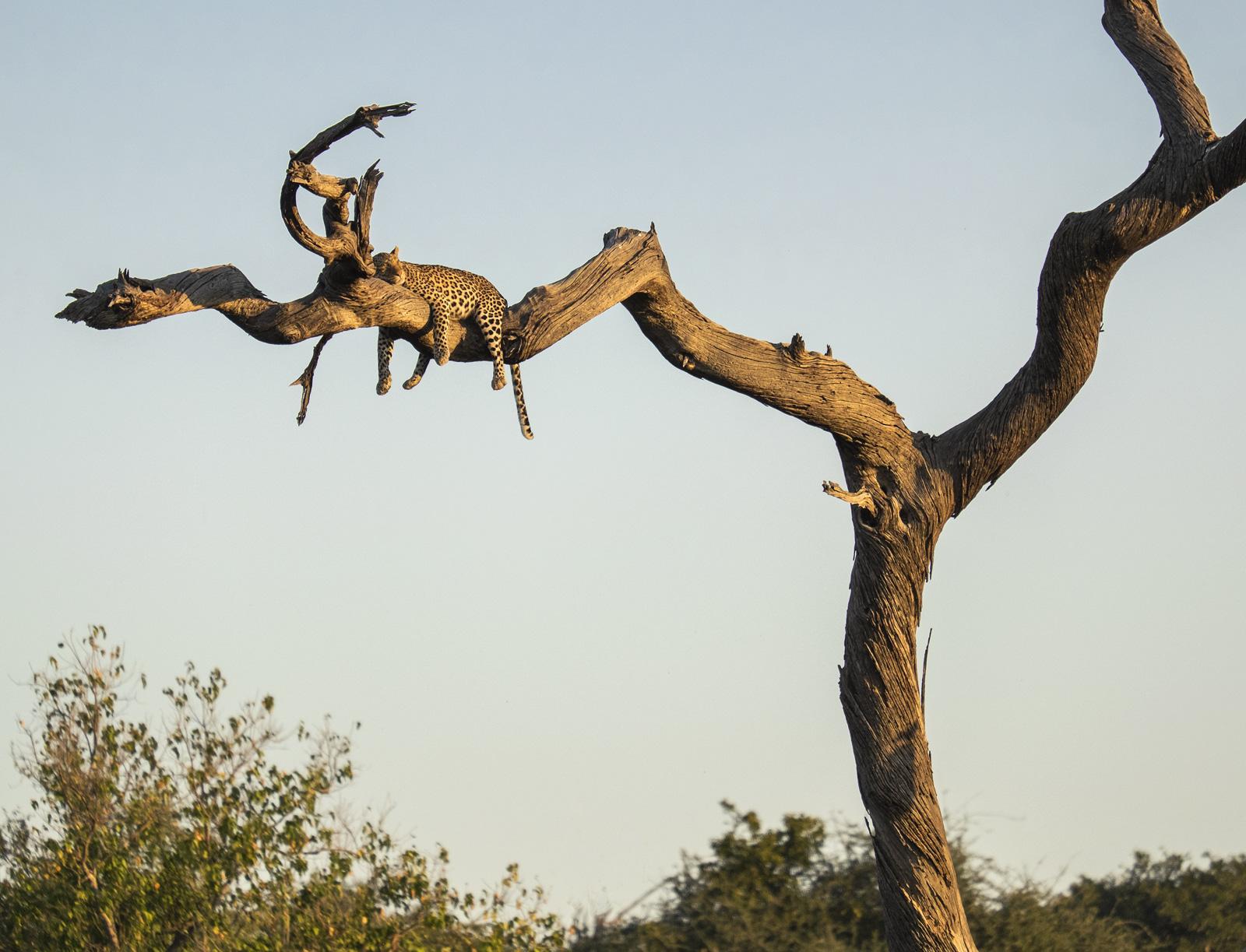 Bothered Not, Chobe, Botswana, Africa, leopard, predator, big five, prostrate, camel thorn, tree, legs, self assured , photo