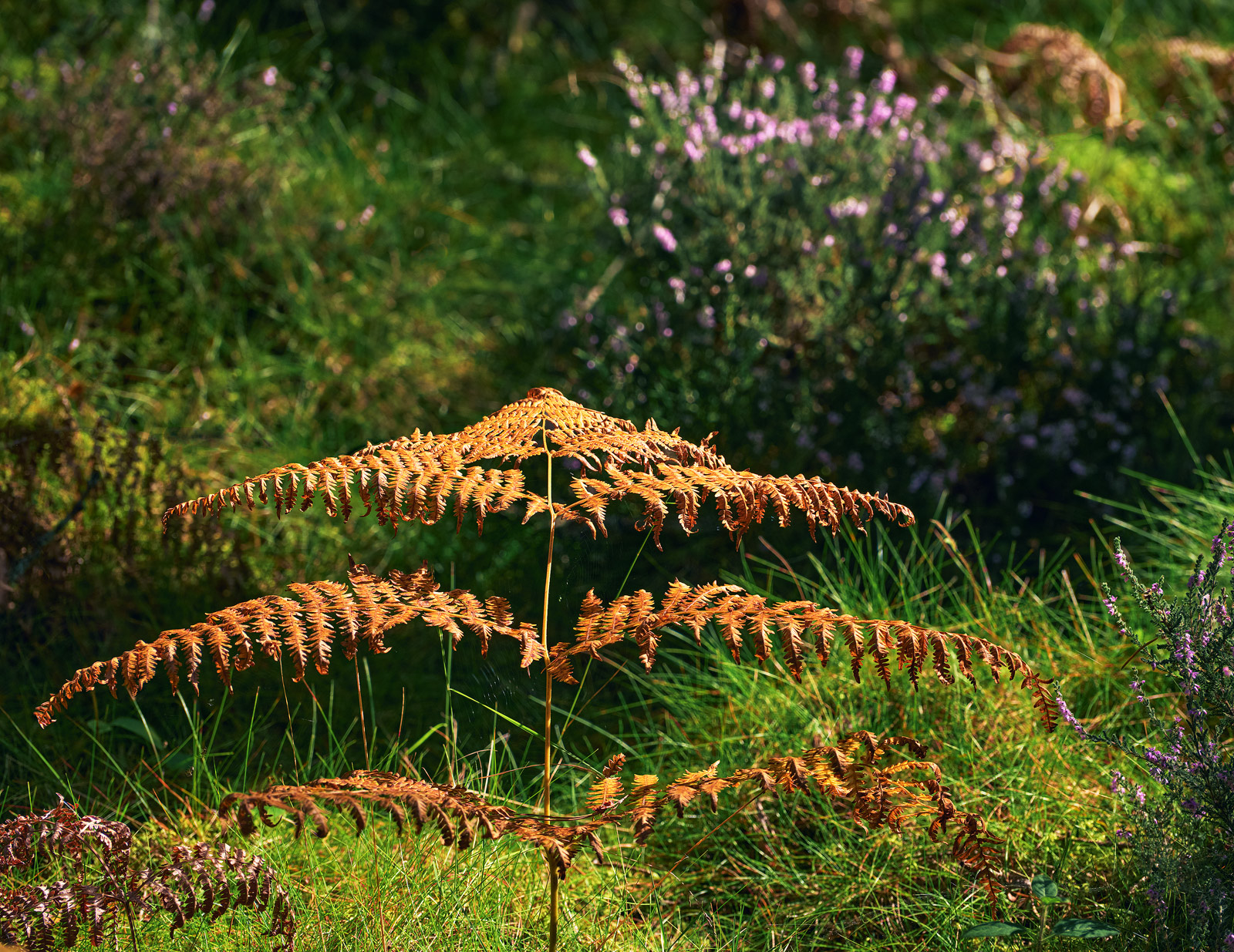 A freshly turned copper coloured bracken leaf tilts its neck toward the heather beds on the forest floor amongst the pine trees at Blairs Loch in Forres.