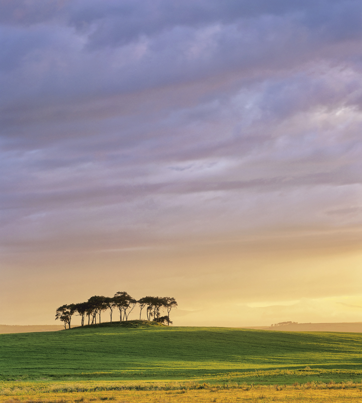 Glorious summer light breaks through light cloud and ladles the fields of wheat and buttercups in front of this isolated grove...