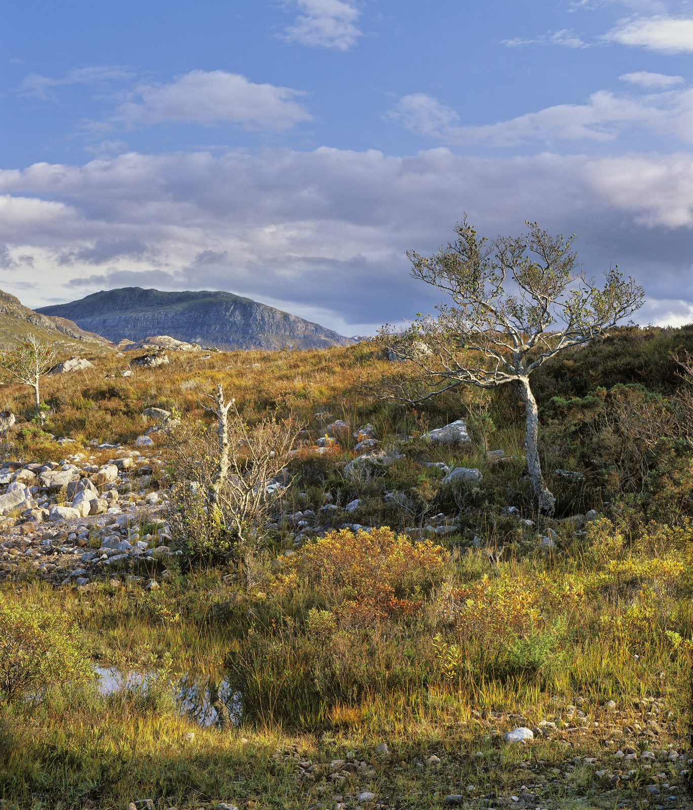 Scrubby heath land, heather, tufts of yellowing grass and Mountain Ash make up the shoreline of Loch Maree in a tangled chaos...
