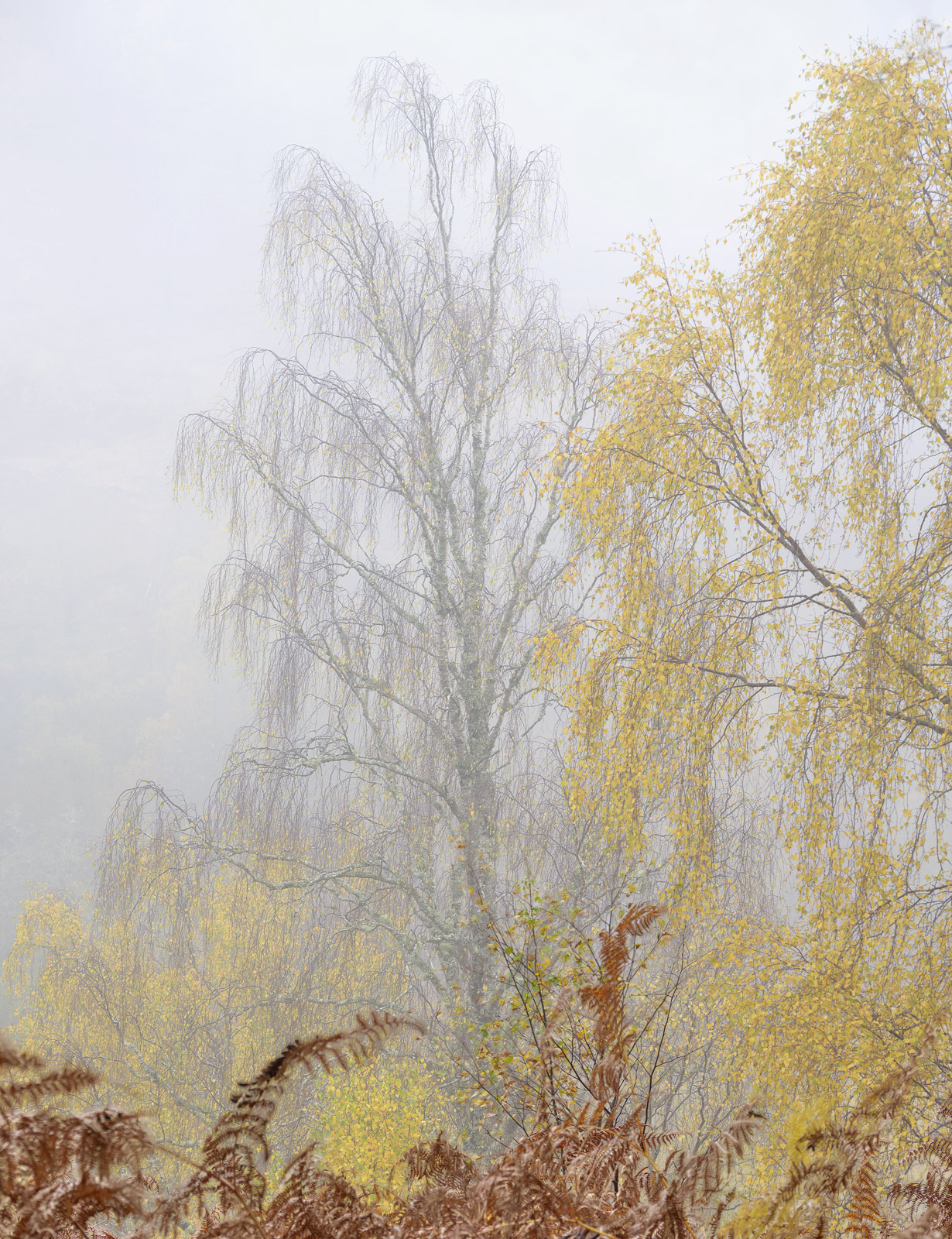 A wonderful soft and nebulous hill mist flowed across the hillside enveloping the birch and bracken covered slopes on which we...