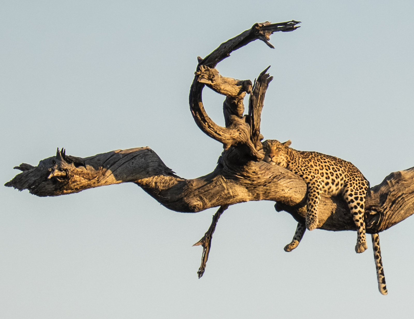Chilled Leopard, Chobe, Botswana, Africa, big five, killing, predators, fear, prostrate, branch, camel thorn tree, legs,, photo