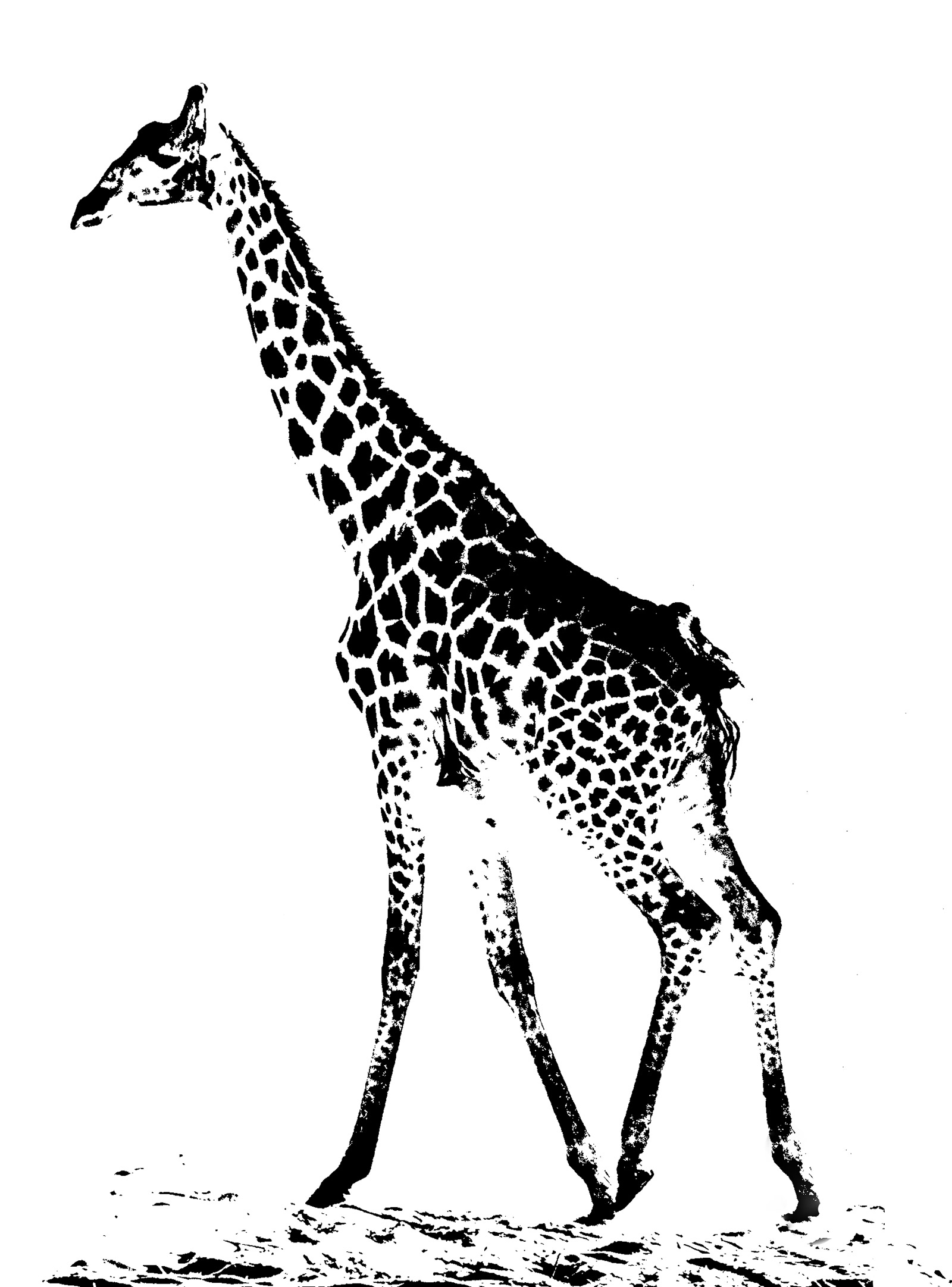 giraffe etching, Chobe, Botswana, Africa, canter, lone, spooked, stylised, different, photo