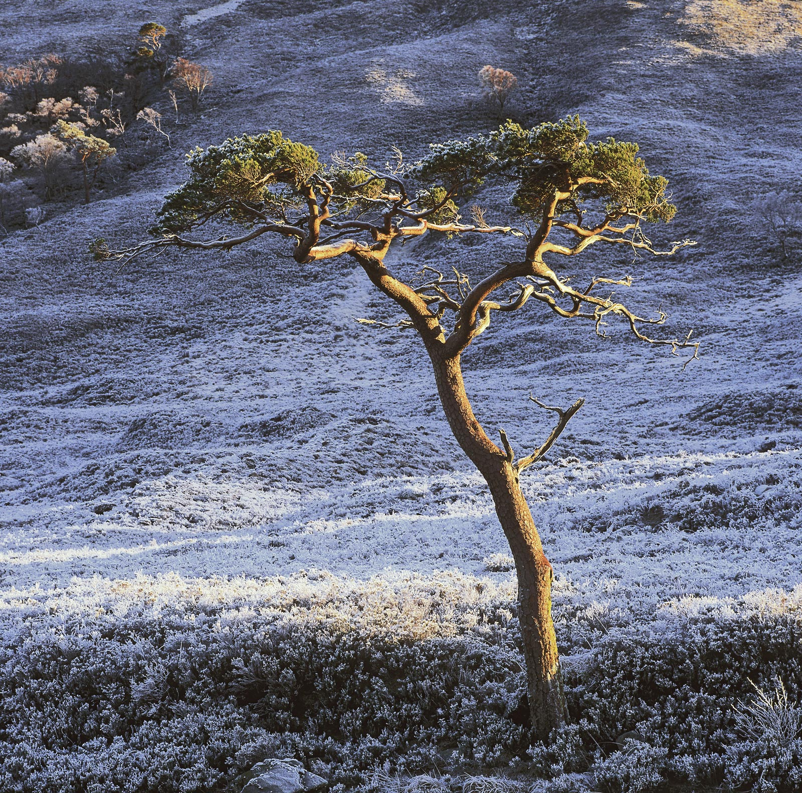 There are not many strongholds for this most beautiful of native Scottish trees but in Torridon there are still a good few clustered...