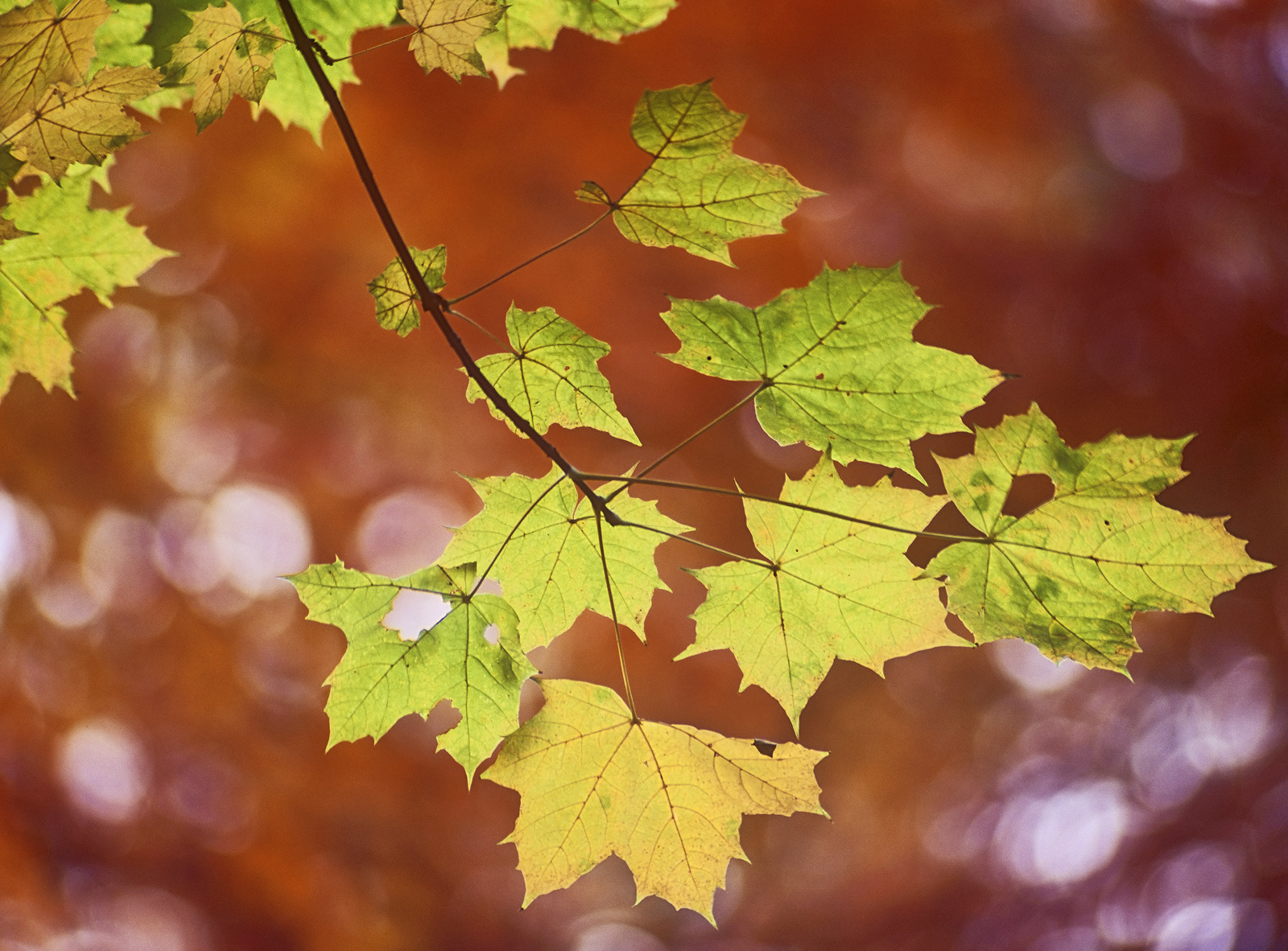 Its amazing the speed at which some leaves change like beech which quickly turn from green to gold to a brilliant copper and...