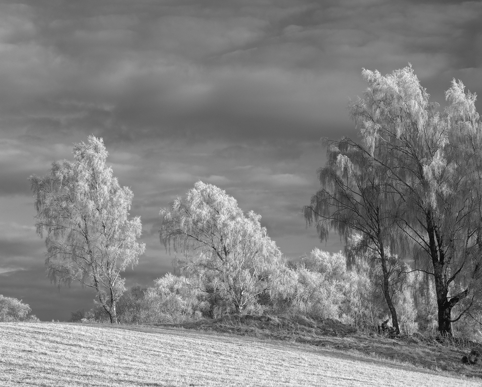 Beautiful hoar frosted silver birch trees bathed in honey soft winter sunlight stand at the edge of a similarly frosted stubble...