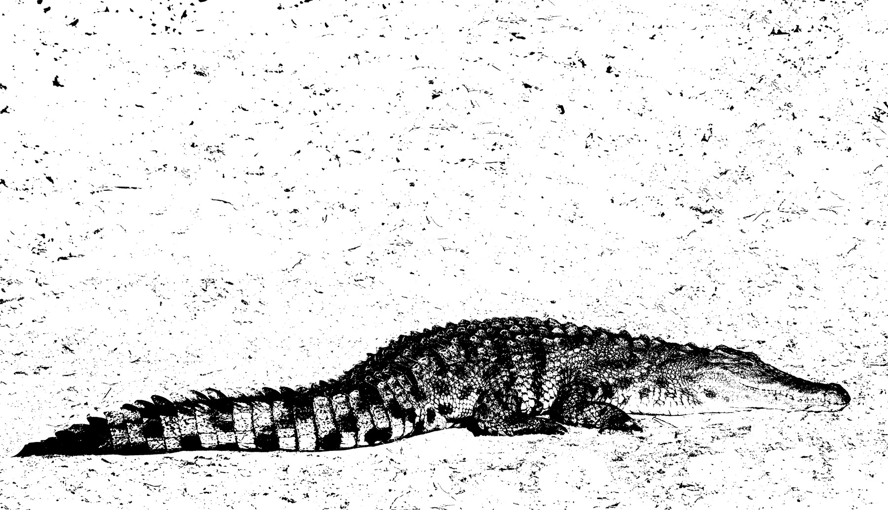 Crocodile Etching, Chobe, Botswana, Africa, river, marked, basking, sun, stylised, interpretation, photo