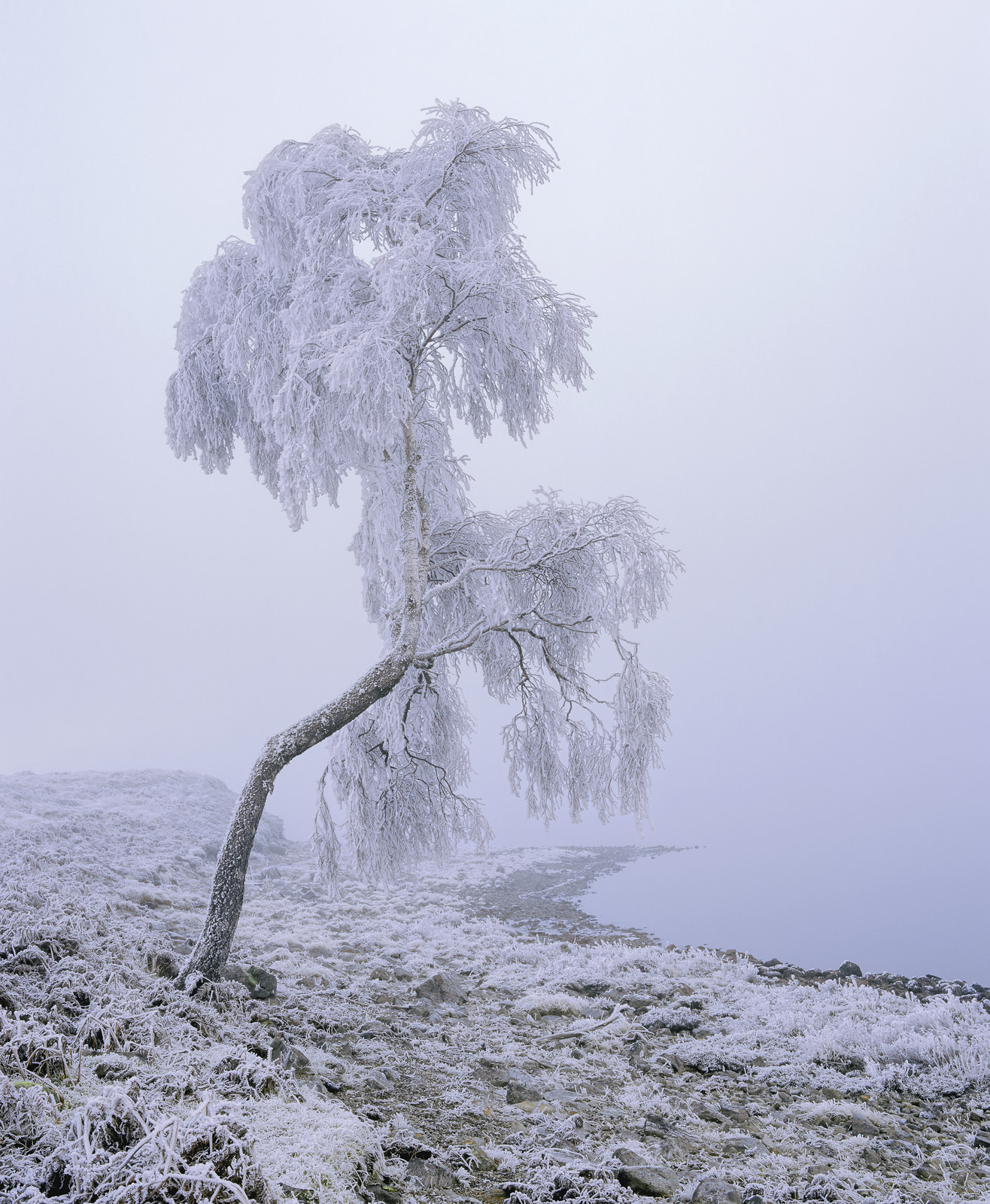 A deep frozen crooked birch tree suffers the ravages of freezing fog visibly settling on each tiny twig creating splintered rime...