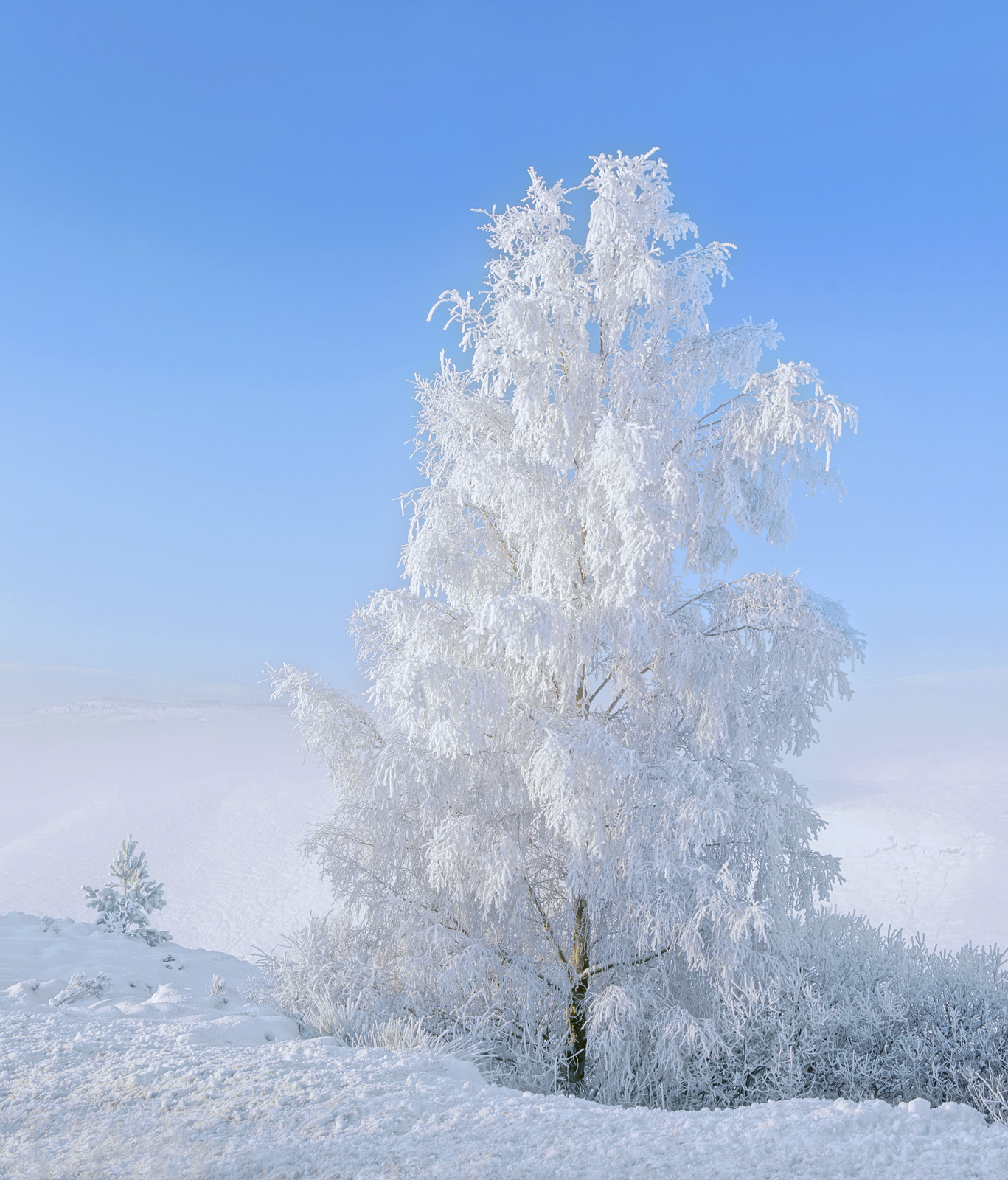 When I came across this magnificent frosted birch tree on a dazzling bright winter's day high on Dava moor, the freezing mist...