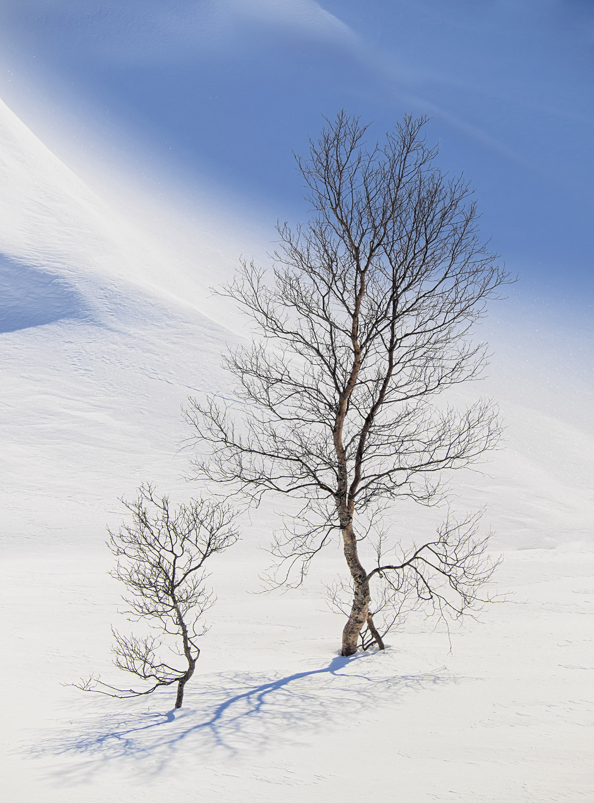 Curvaceous, Bothkollen, Anderdalen Nat Park, Norway, pleasure, impression, perfection, beautiful, trees, winter, unspoil, photo