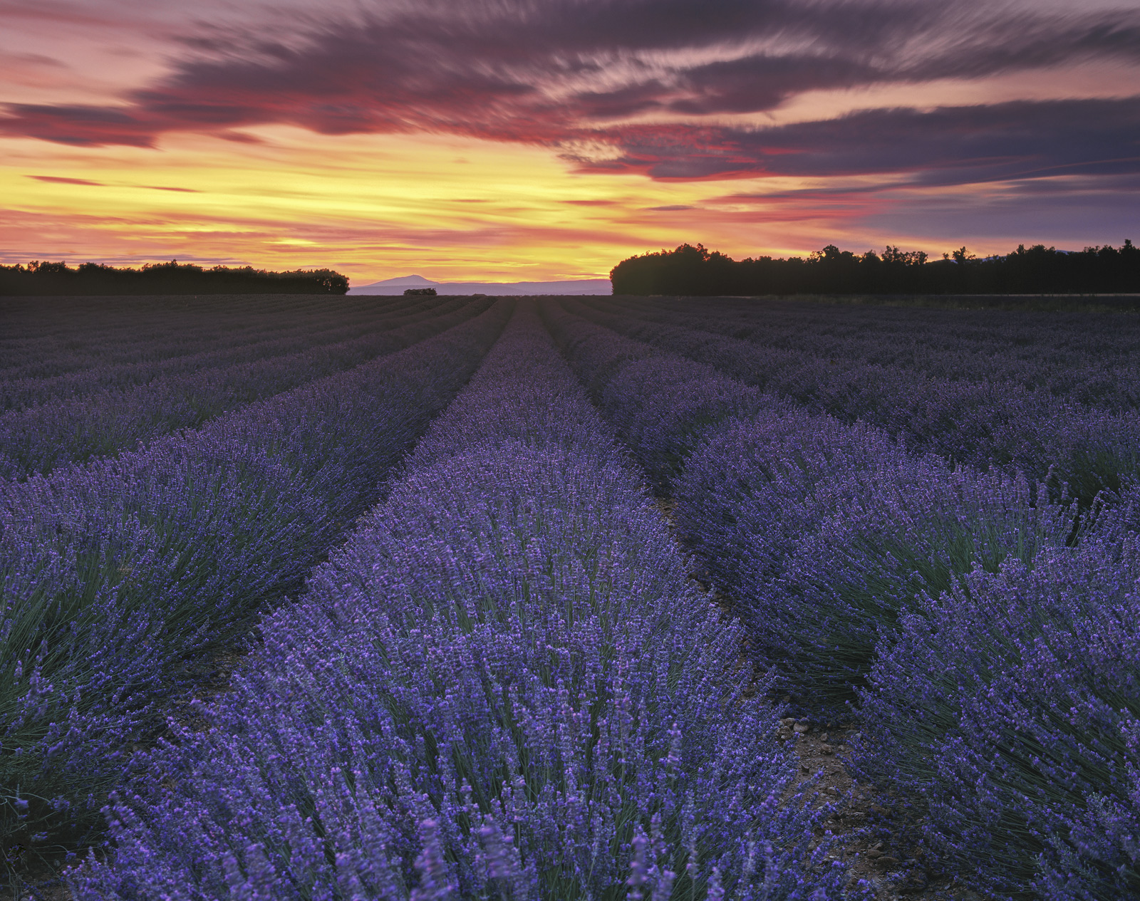 Beneath the fading twilight of after a quite sensational Provencal sunset lies the cool purple of converging rows of flowering...
