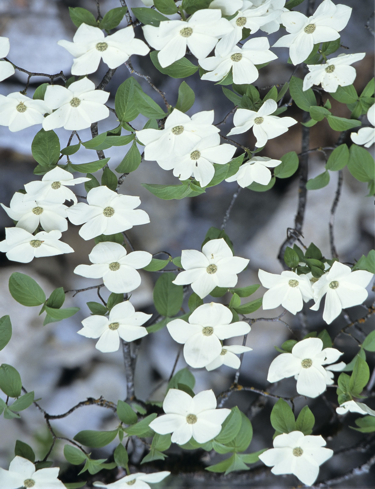During the Spring while snow melt still lurked in the shadows of the higher places I found Pacfic Dogwood in large clusters of...