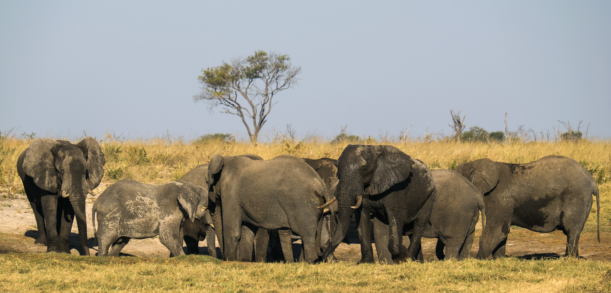 A gathering of elephant sighted at a waterhole on a delightful evening game drive at Elephant Sands campsite. All of us...