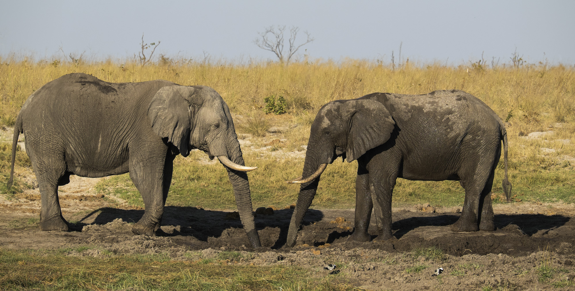Two young male elephants sparring for prime spot at a waterhole that we visited on an evening game drive outside the elephant...