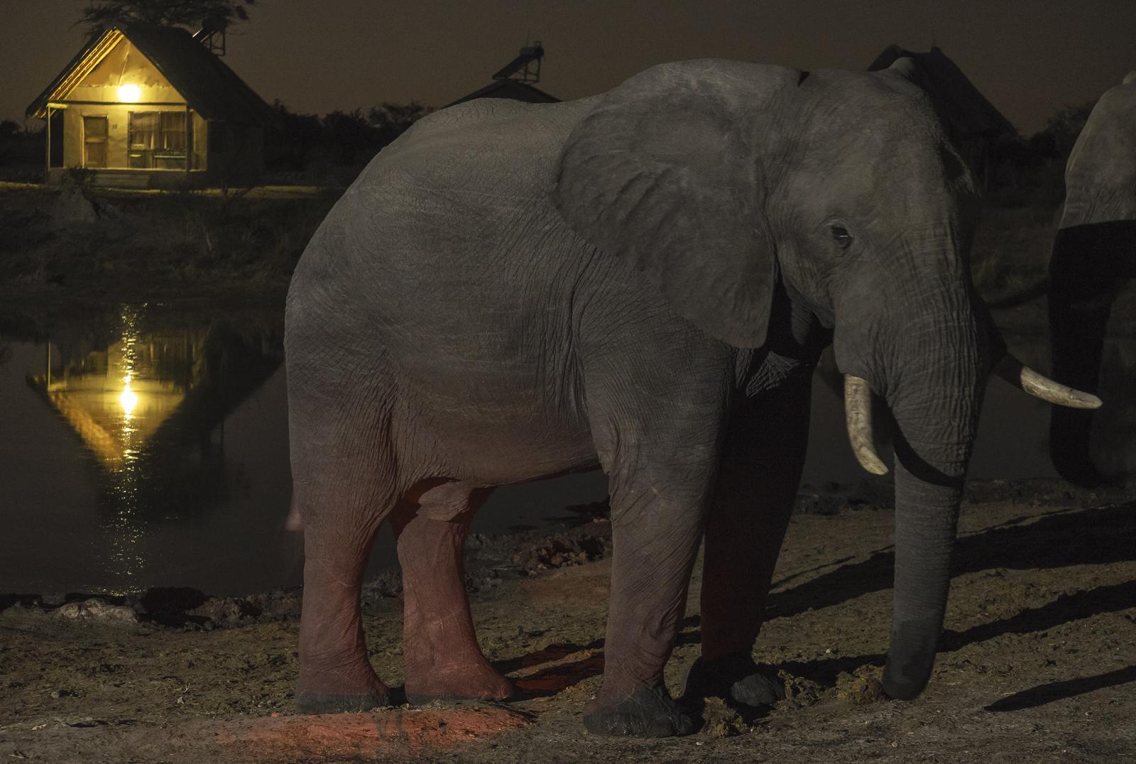 Elephant Sands Bull, Elephant Sands, Botswana, Africa, evening, waterhole, ambient, lodge, lights, drink, elephant , photo