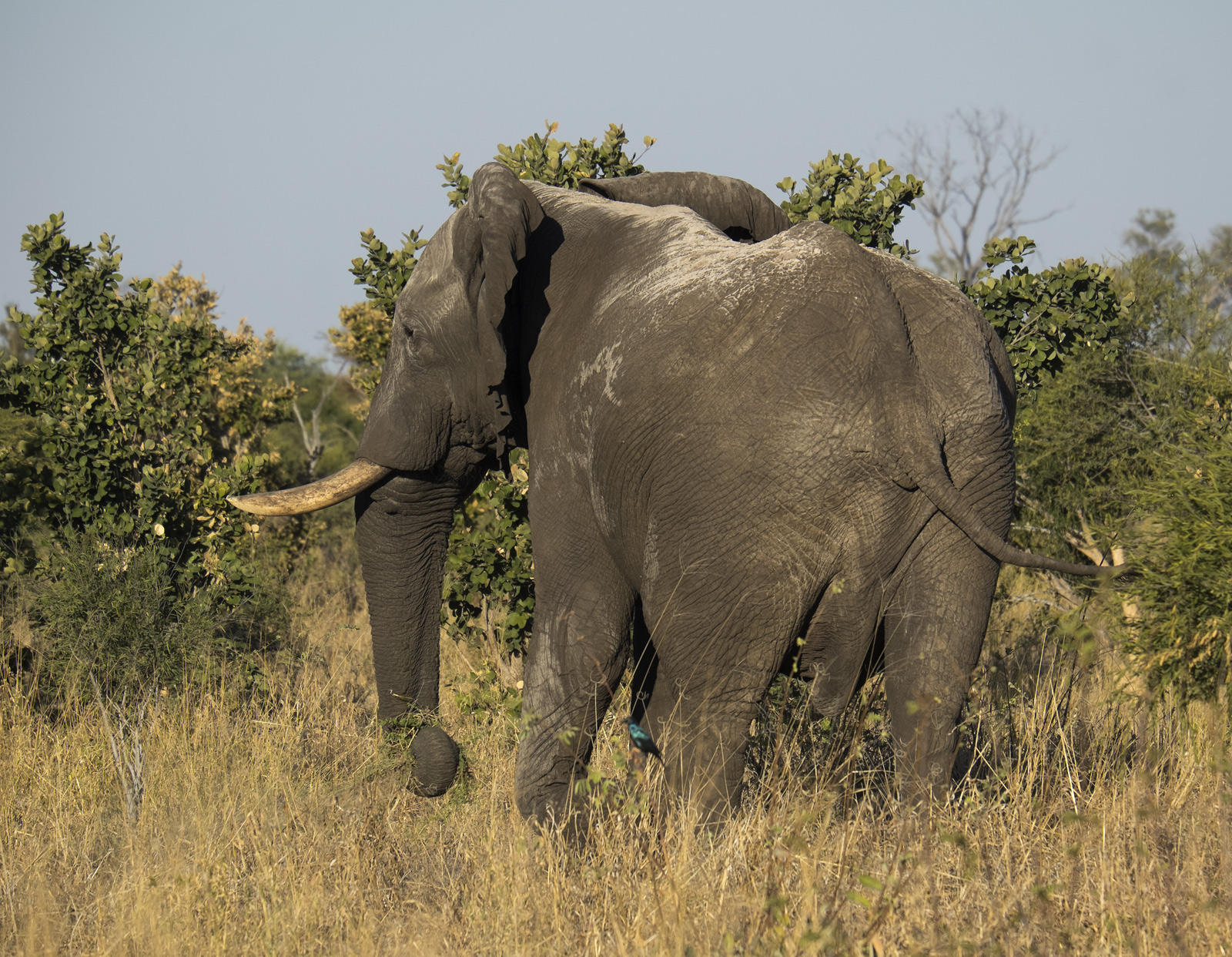 Elephant and Roller, Elephant Sands, Botswana, Africa, elephant, game drive, evening, male, trees, stripping, blue, photo