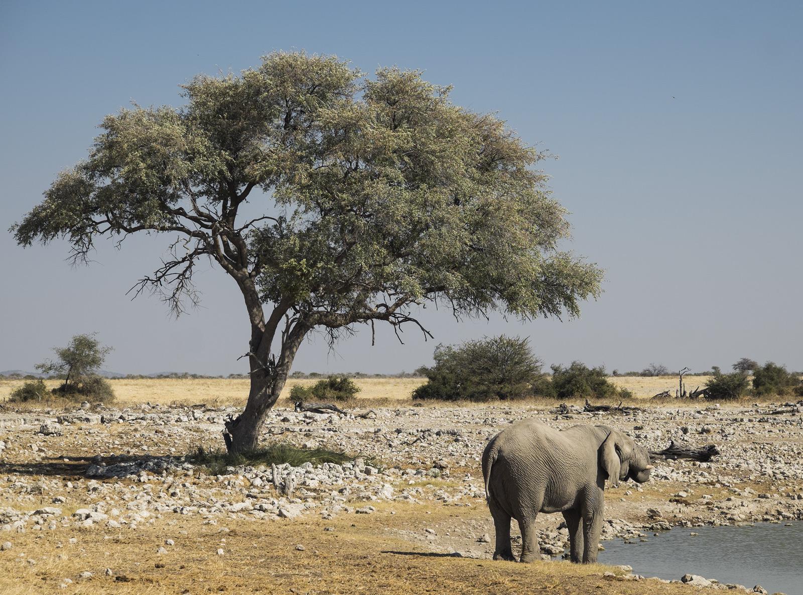 Elephant at Waterhole, Etosha, Namibia, Africa, game reserve, elephant, waterhole, trees, photo