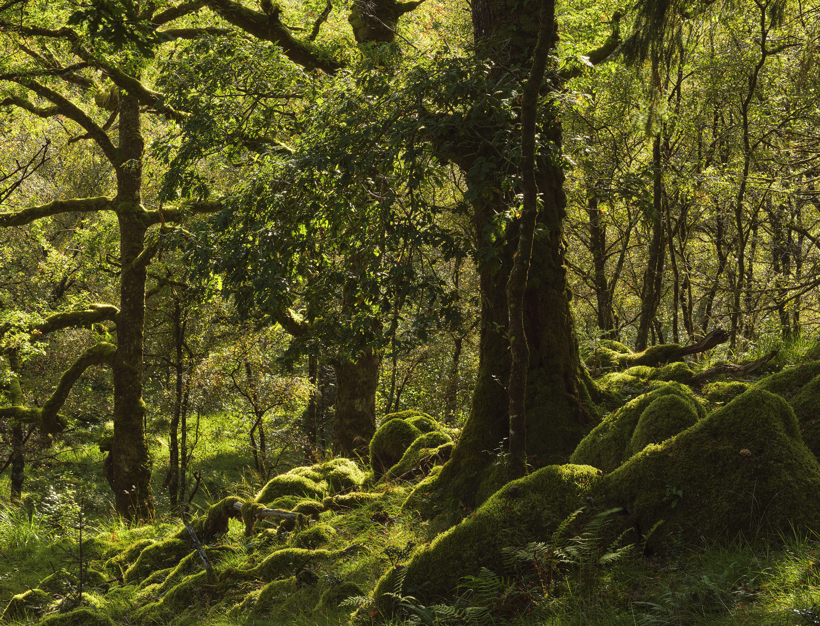 Emerald Oakwood, Ariundle Woods, Ardnamurchan, Scotland, ancient, sessile, ferns, moss, lichen, dappled, golden, backlit, photo