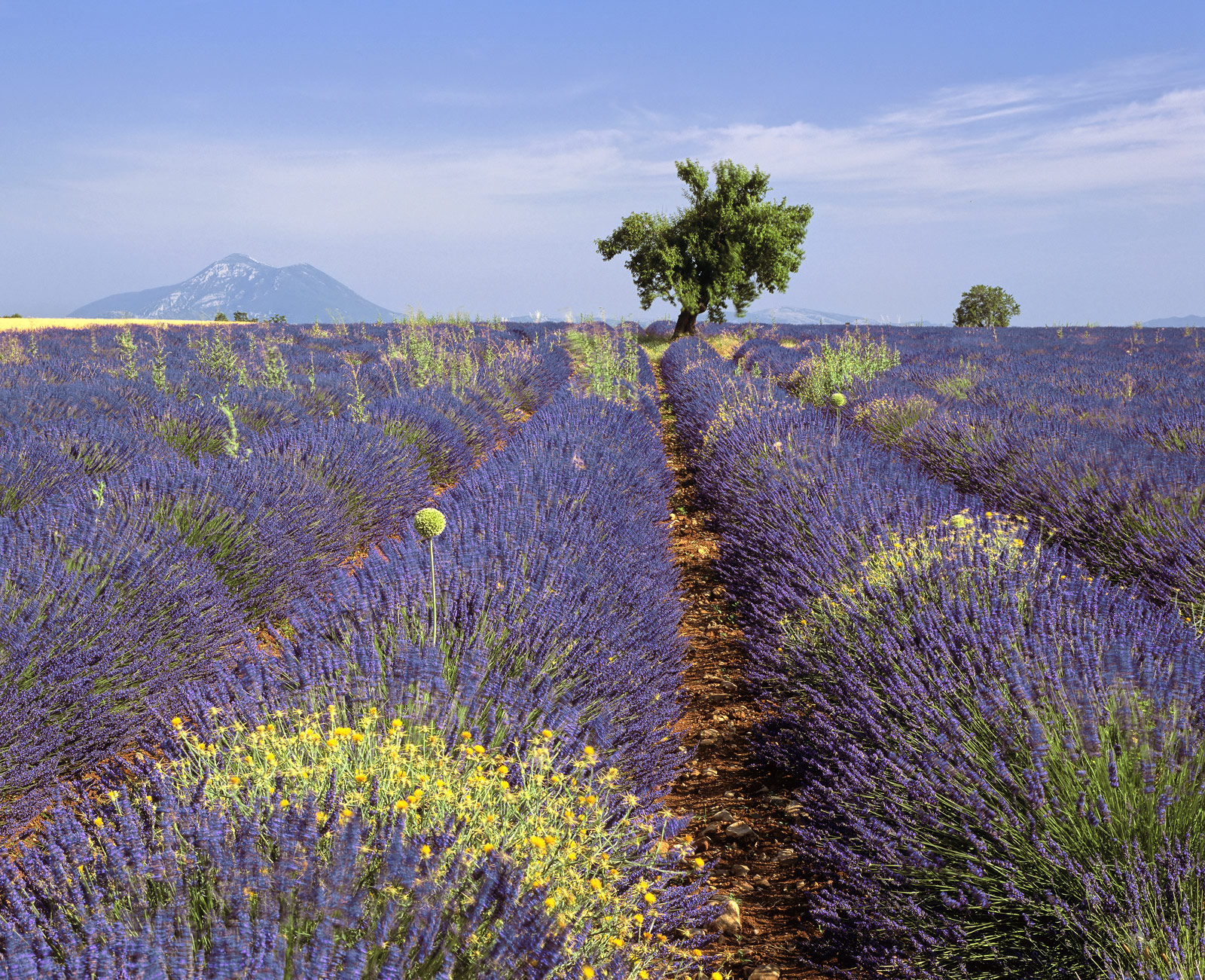 Just before the beginning of July the lavender fields ripen and are in prime condition for cutting and then processing for perfumes...