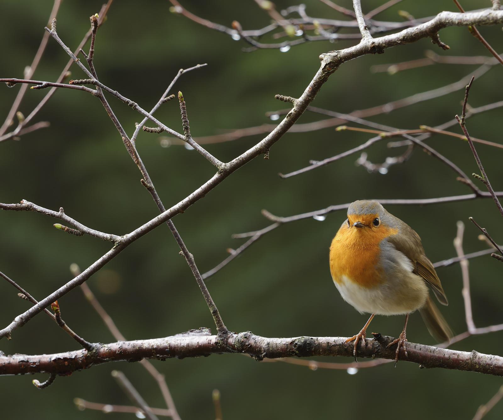 Fat Robin, Glencoe Lochan, Glencoe, Scotland, portly, grotty, damp, autumn, twigs, rain, segment, crisp, photo