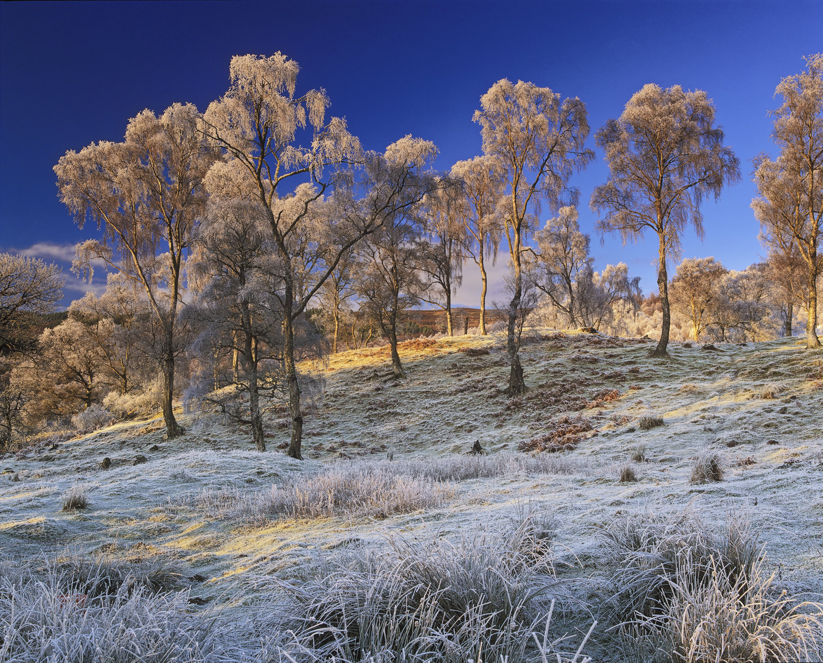 Birch trees have one major advantage when a heavy frost is in the air as it was on this very fine winter's day on the edge of...