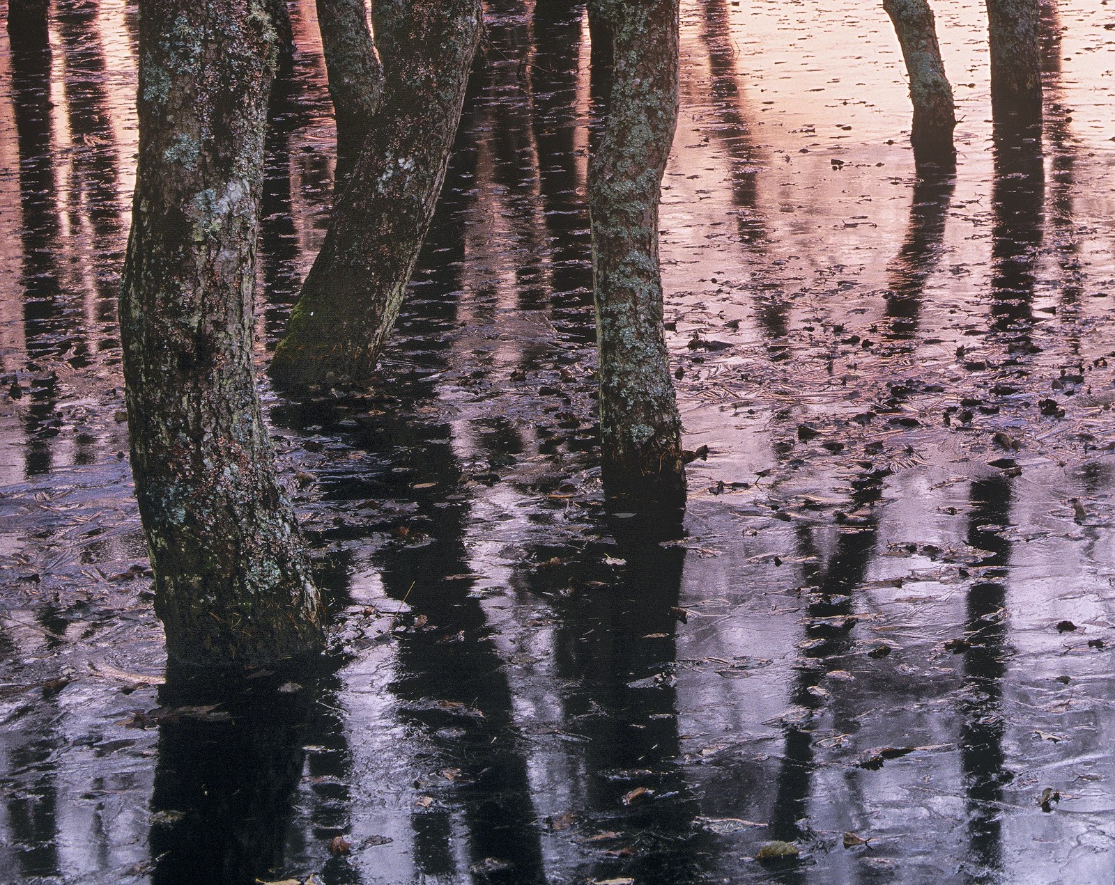Winter often brings flooding and this little birch copse became frozen in and sprinkled with twigs and debris. I chose...
