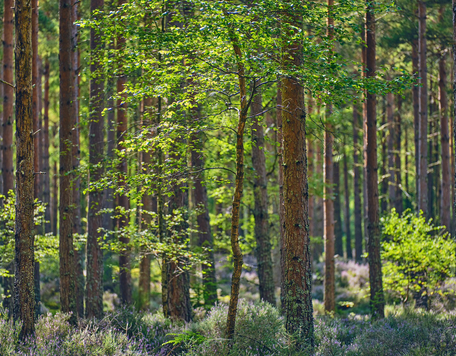 Young birch trees struggling for sunlight between the pine trees at Blairs Loch in Forres.