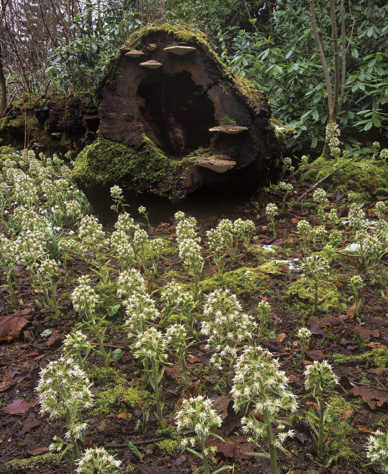 Garlic Mushrooms, Dallas Dhu, Moray, Scotland, wild, garlic, bracket fungi, snowdrops, spring, log, hollow, surreal, oas, photo