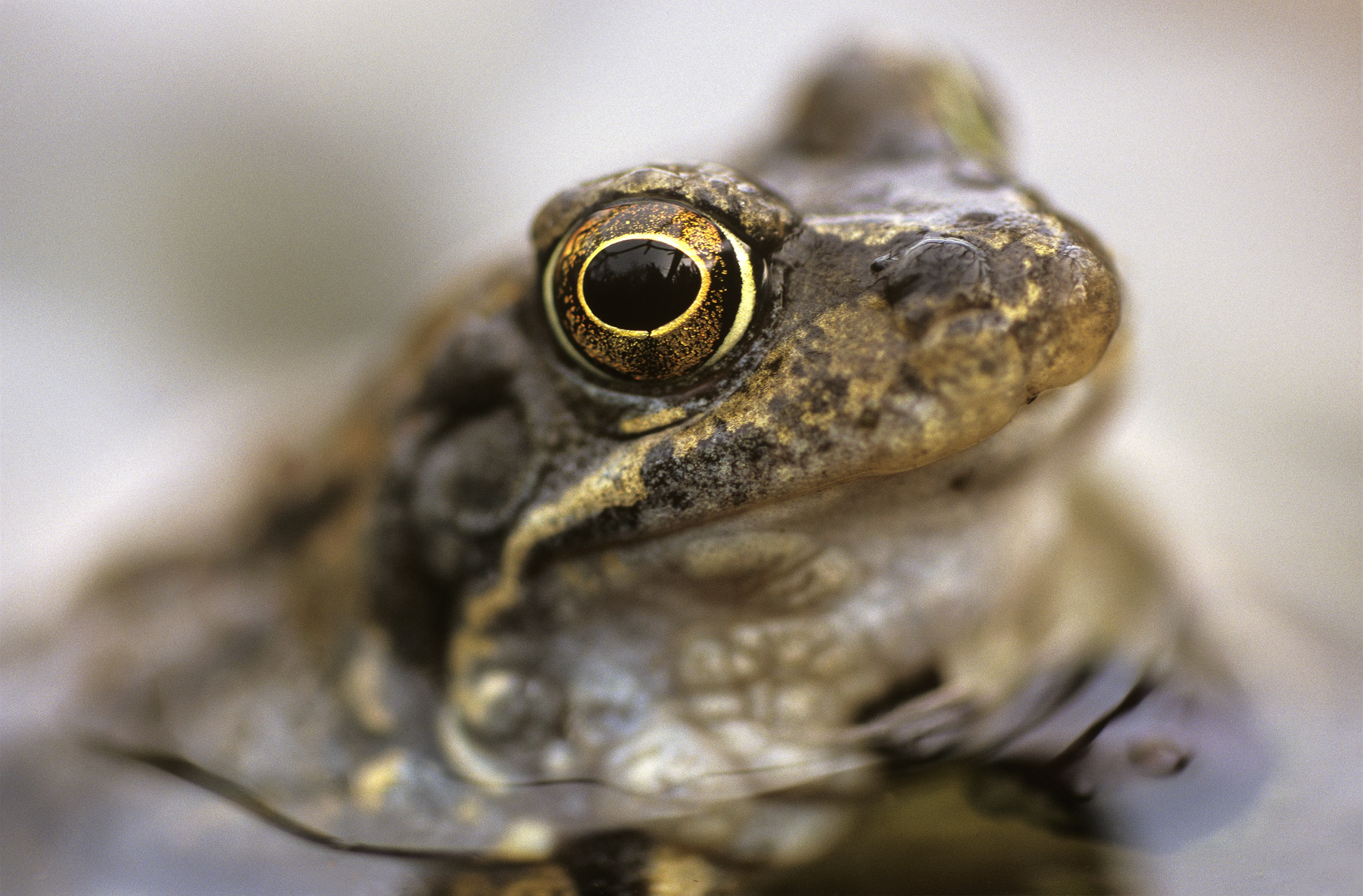This little frog sat in our back garden pond and eyed me suspiciously as I closed in with my camera. I decided that the...
