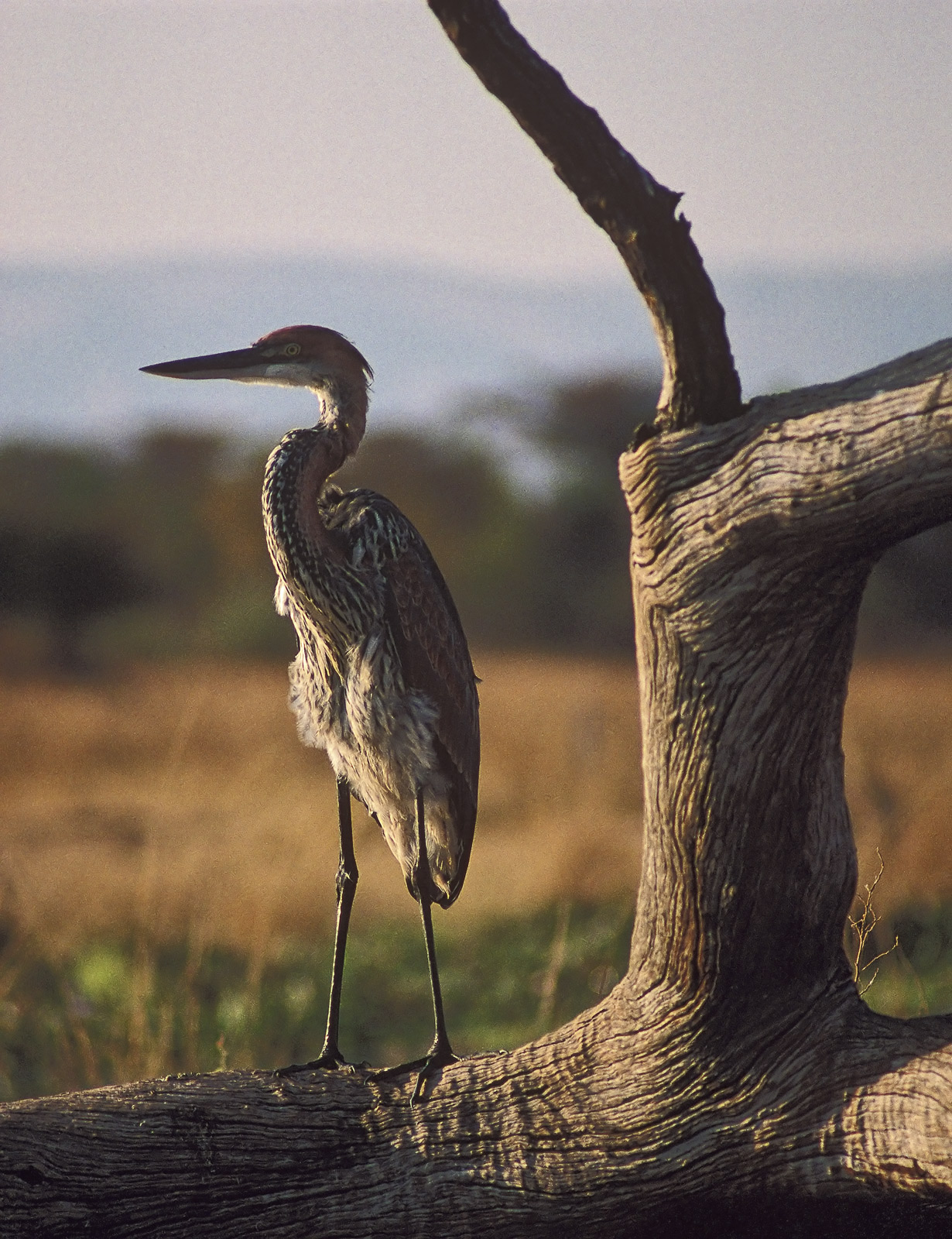 I love herons but this is by far the biggest I had ever seen standing on a dead piece of mopane fishing the shallows of lake...