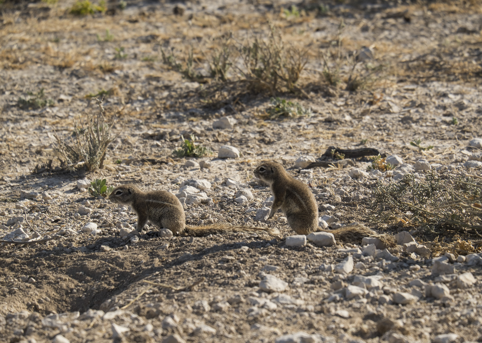 These ground squirrels were playing a furious game of tag outside their burrow beside the road.  Despite being prey for...
