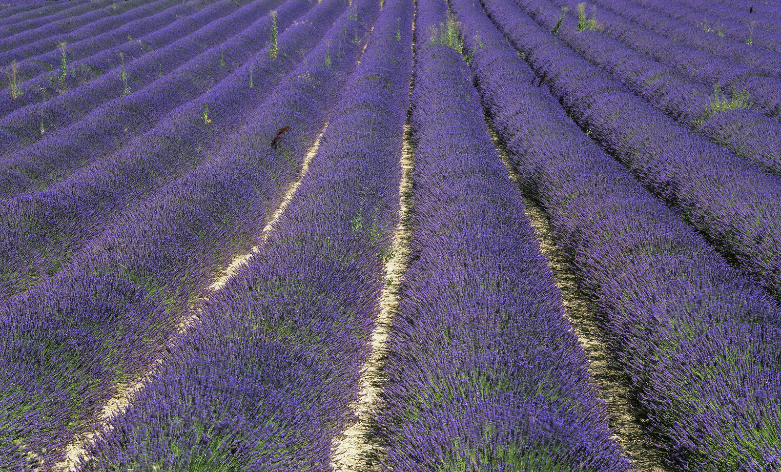 Scented rows of purple flowering lavender viewed from above stretch off into the distance in neat diagonal lines interrupted...