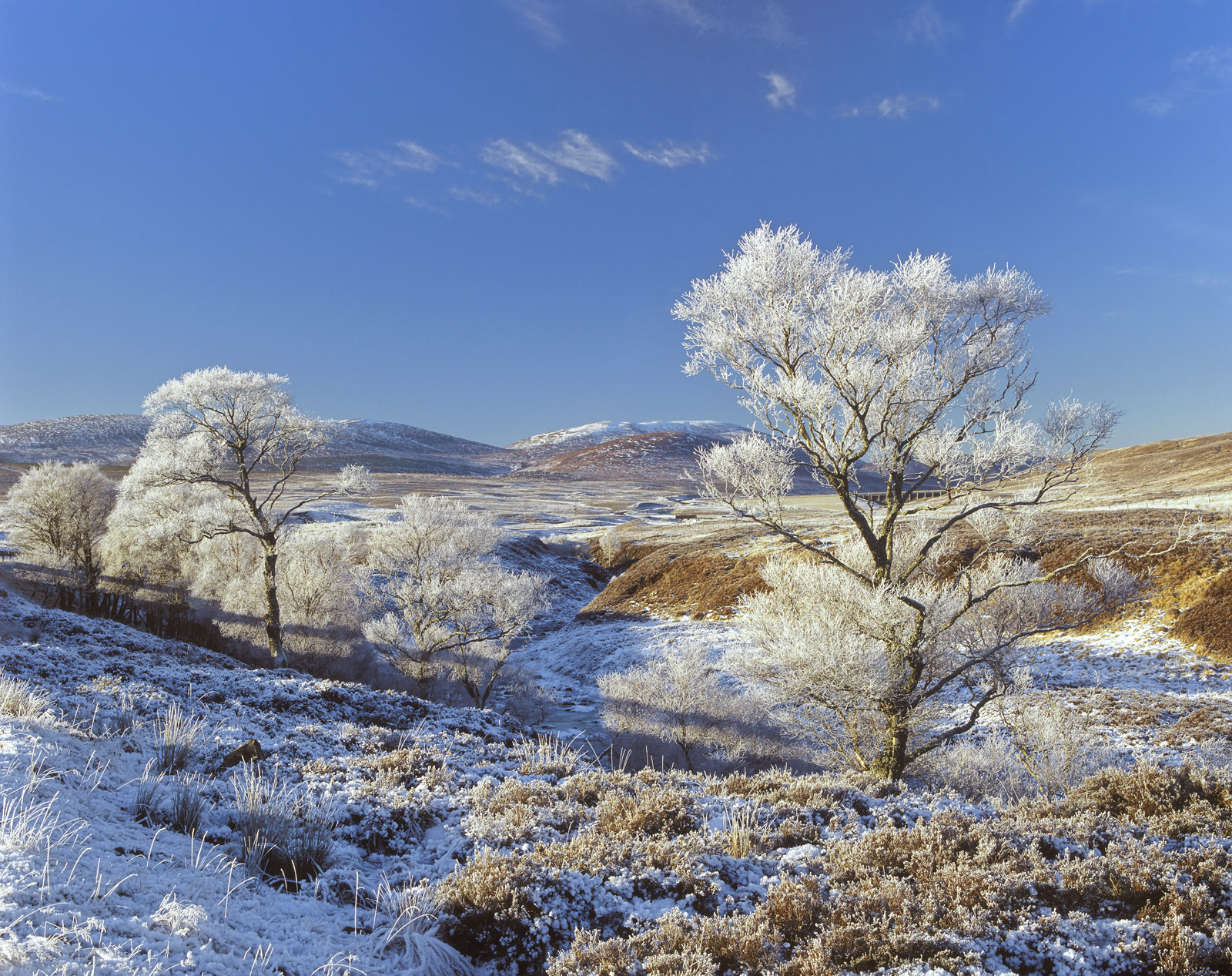 The two birch trees that feature in this picture would not gain a second glance under normal circumstances but as usual frost...