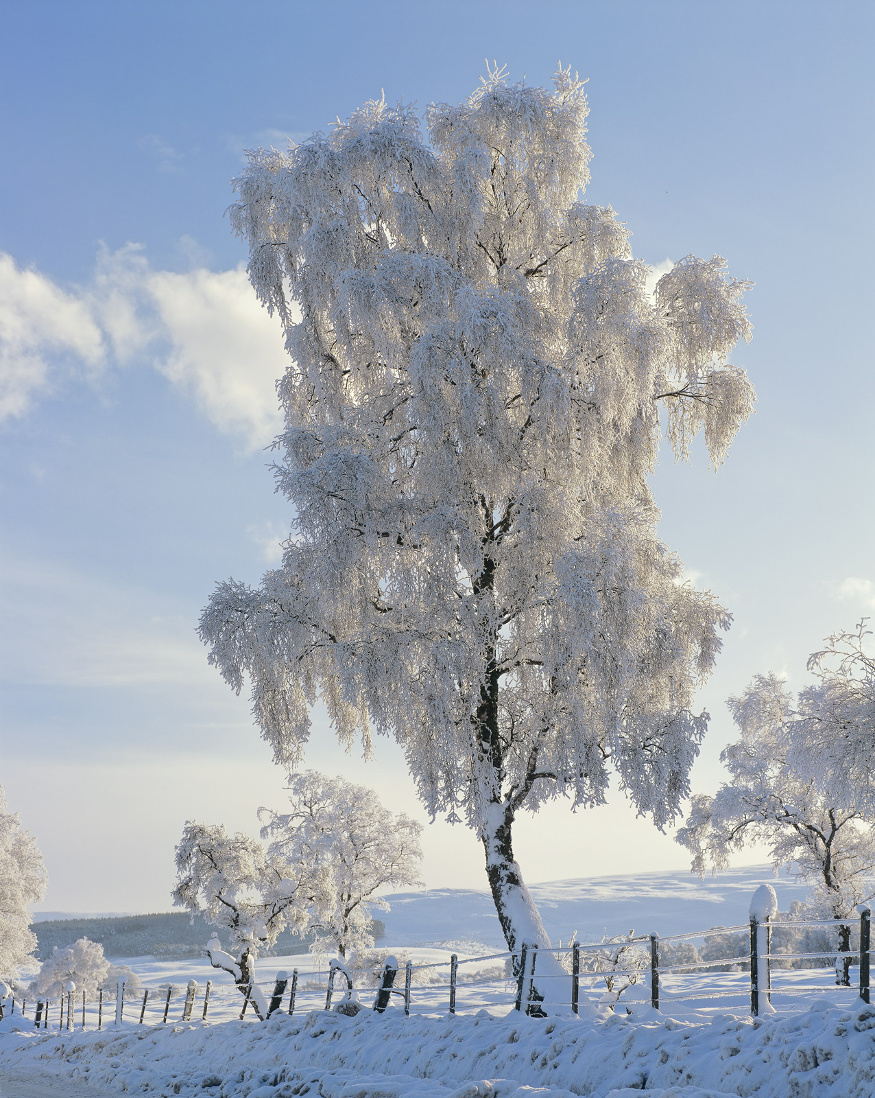 This gorgeous partially backlit birch tree was situated by a minor road between Feshiebridge and Ruthven Barracks and is almost...