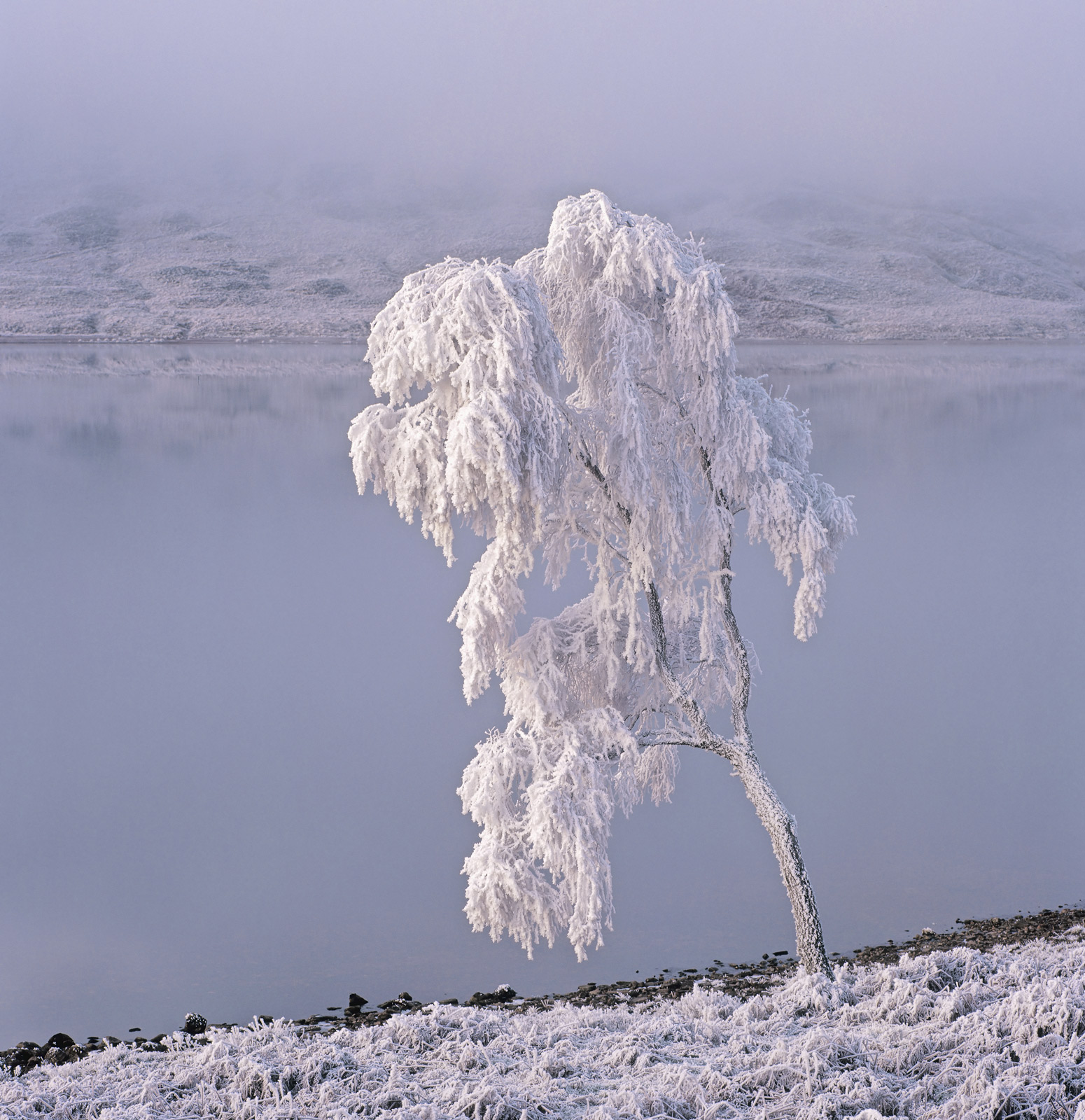 When I first saw this old birch tree looming out of a dense freezing mist around the shoreline of Loch A Chroisg, I saw the head...