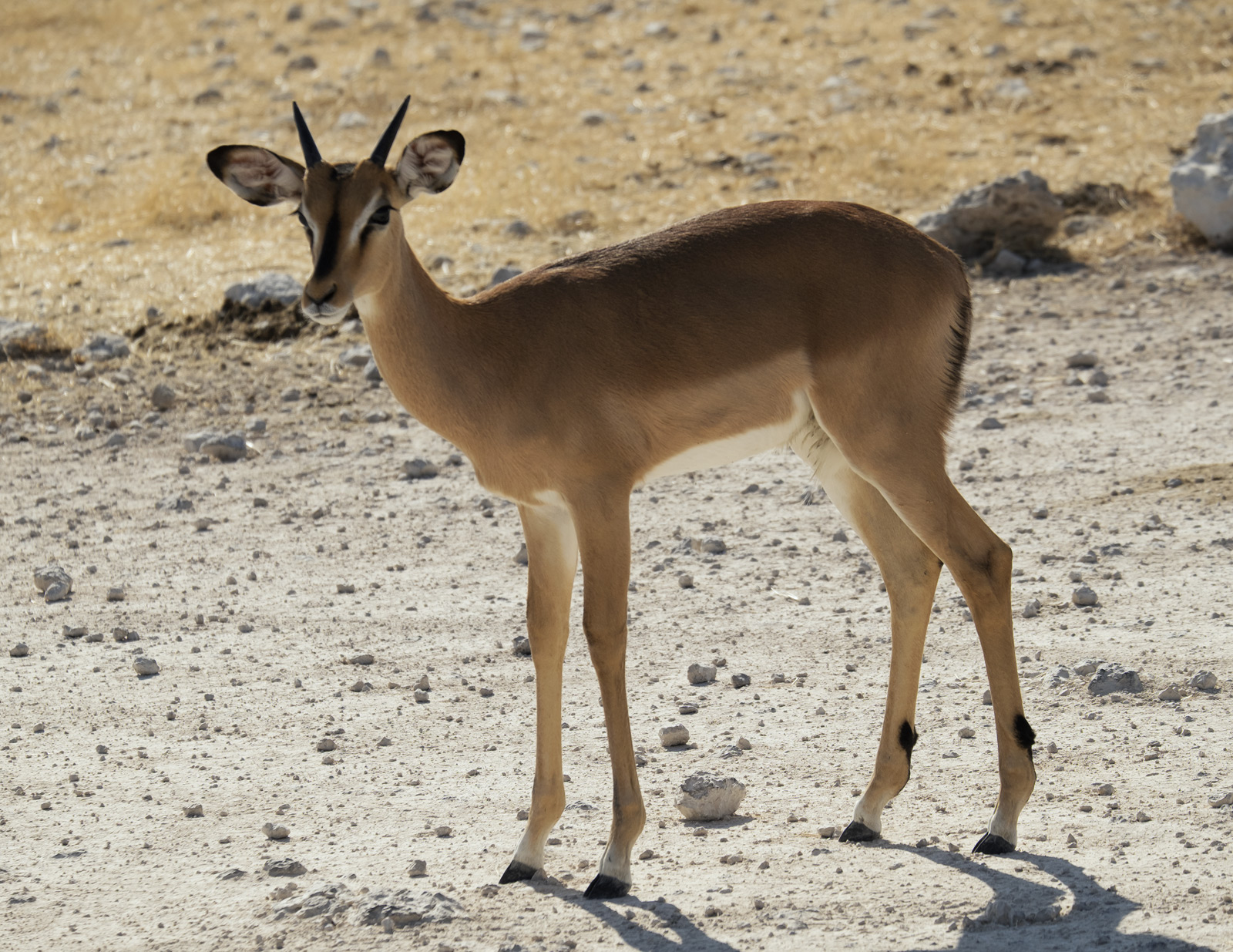 This beautifully elegant young female impala was totally immaculate, unlike the battle scarred bucks that would doubtless be...