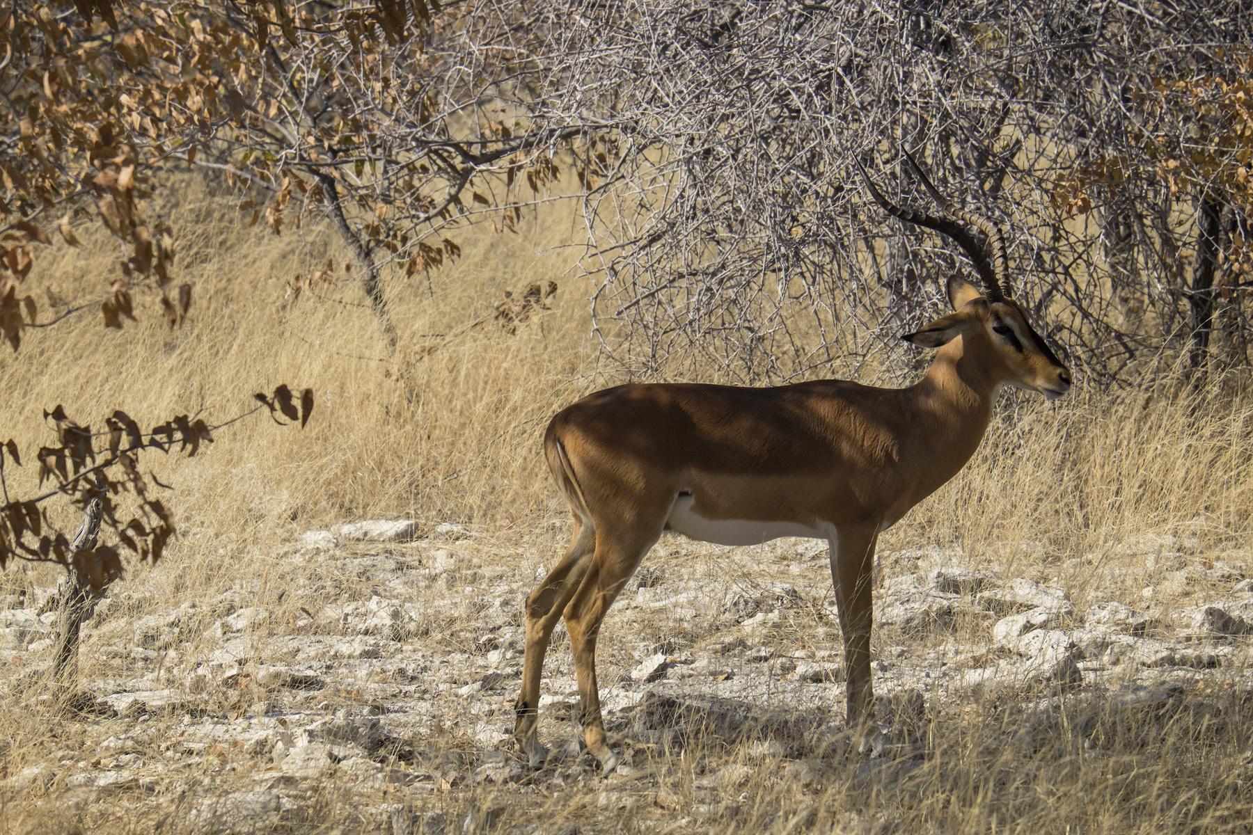 Impala Buck, Etosha, Namibia, Africa, impala, buck, harem, acacia, trees, leaves, dried  , photo