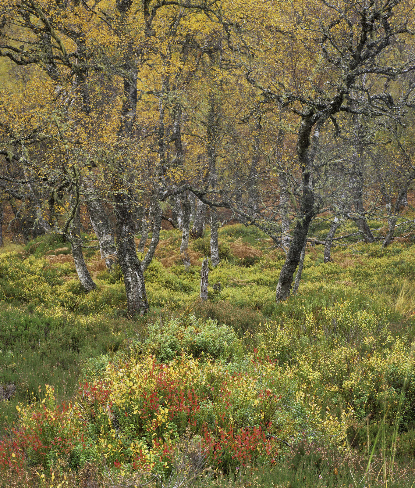 This sumptuous section of birch woodland is in Glen Affric and exhibits a true kaleidoscope of dazzling autumn colours....