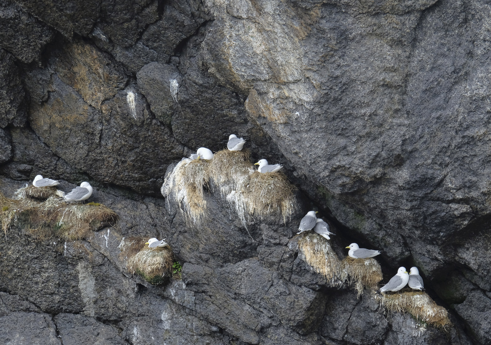 There are a huge number of small bird colonies nesting in the cliffs of Lofoten and some of them are very close to human habitation...