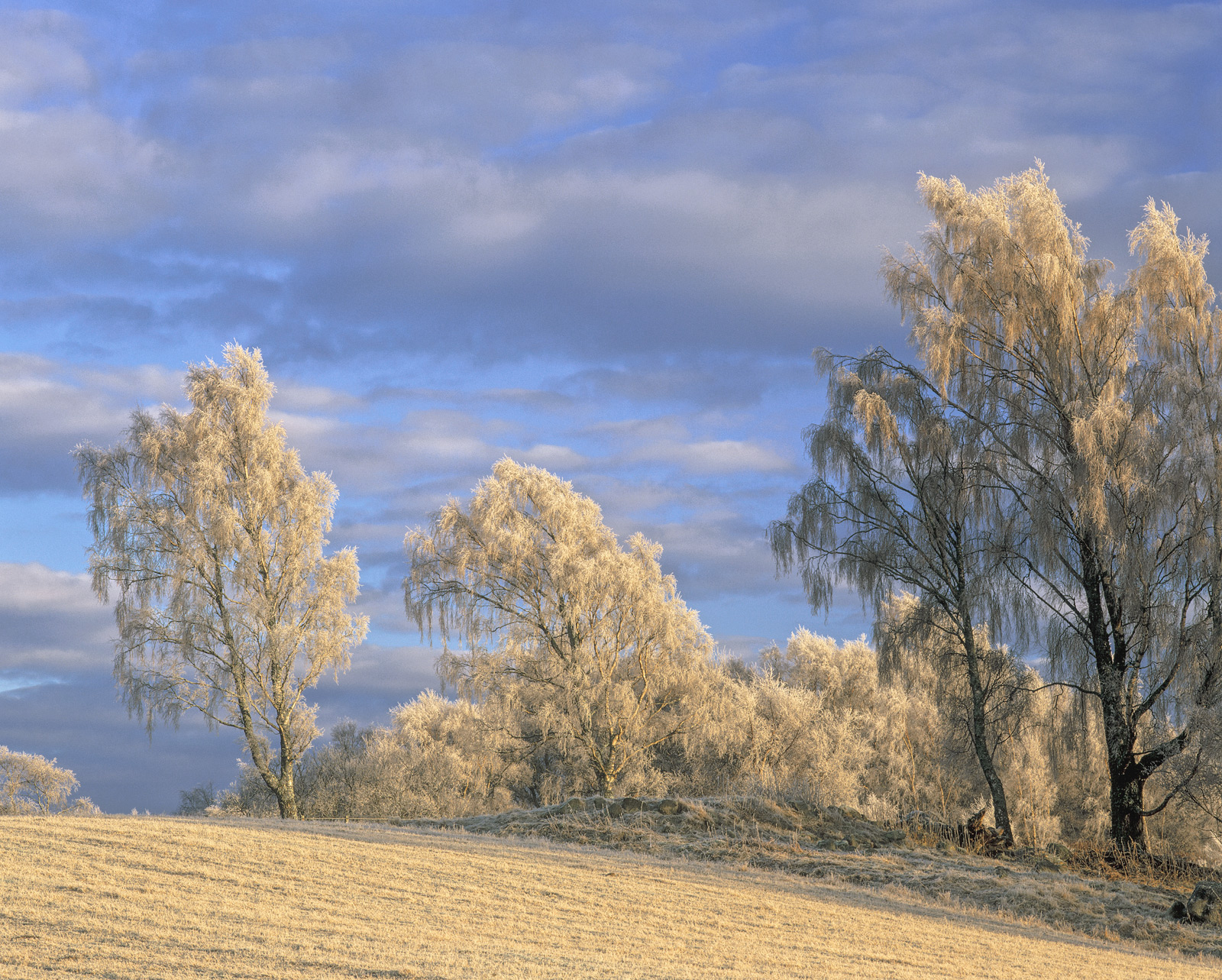 Deep frosted birchtrees and stubble fields on the outskirts of Aviemore bathed in the soft honey coloured light of a late...