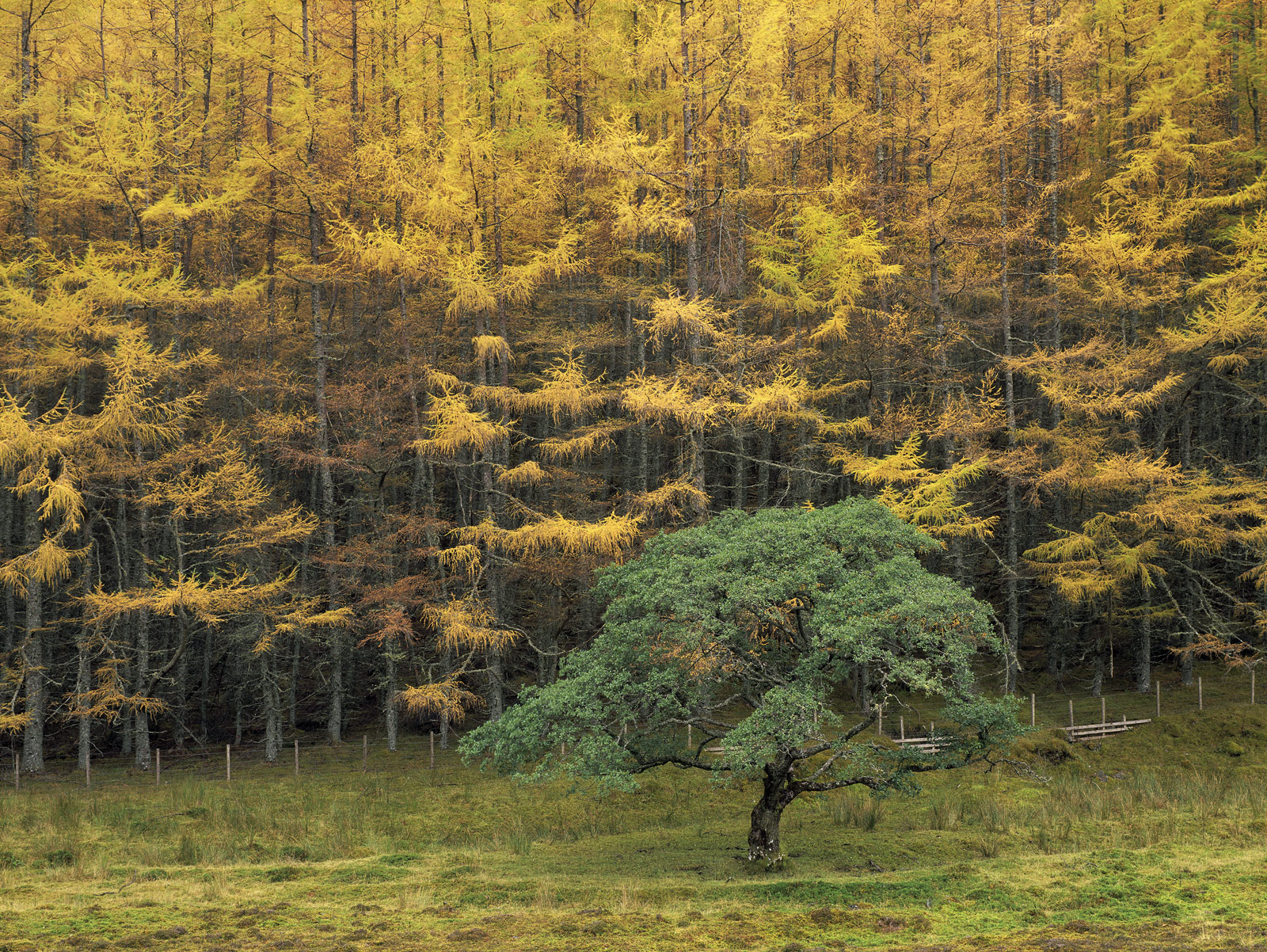 A cascading curtain of golden larch plunges down a hillside stopping rather incongruously at a small wood post fence. Hardly...