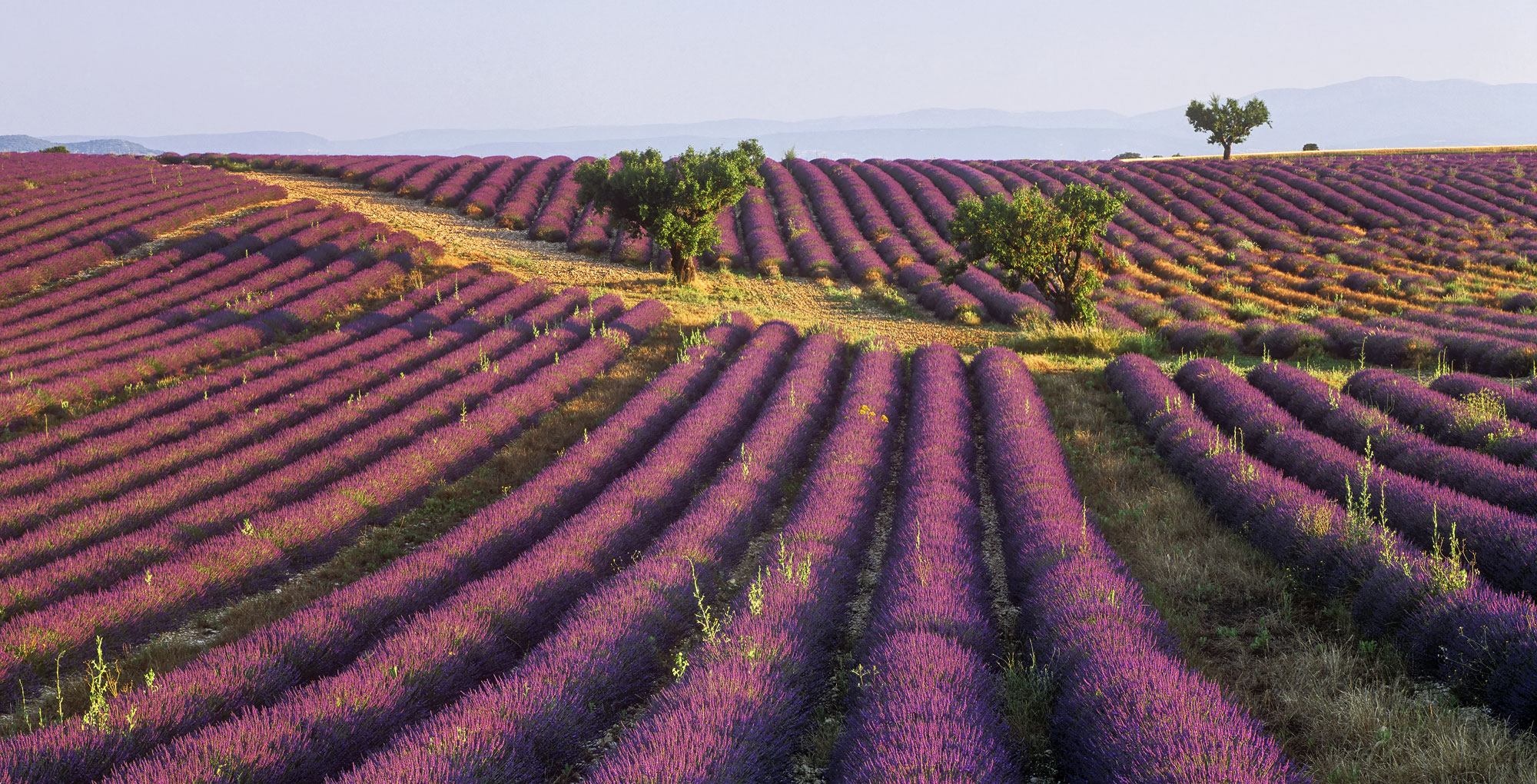 Lavender Pink Pano, Valensole, Provence, France, plateau, pink, violet, infra red, sunlit, lavender, reflected, intersecting, lines, blue, grazing, sunlight, photo