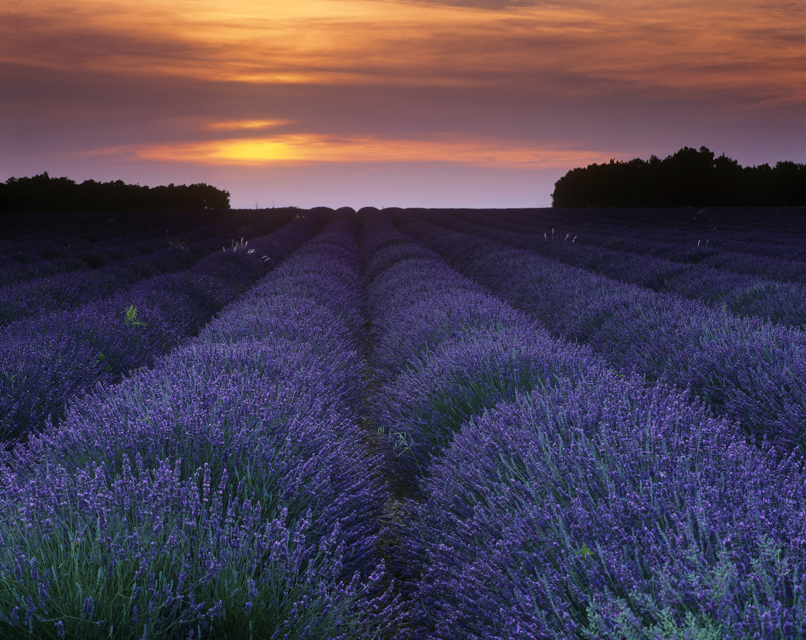 Converging lines of scented blue lavender flowers, the heady scent throbbing and buzzing with a billion bees oblivious of my...
