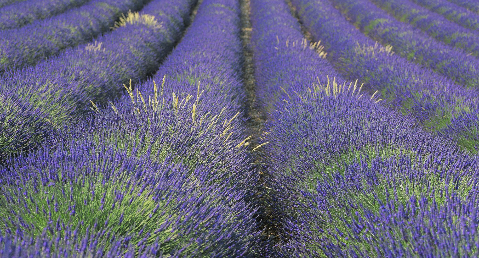 Tubes of velvet blue lavender photographed in the softer light before sunrise ensured the lavender retained its blue cast.&nbsp...