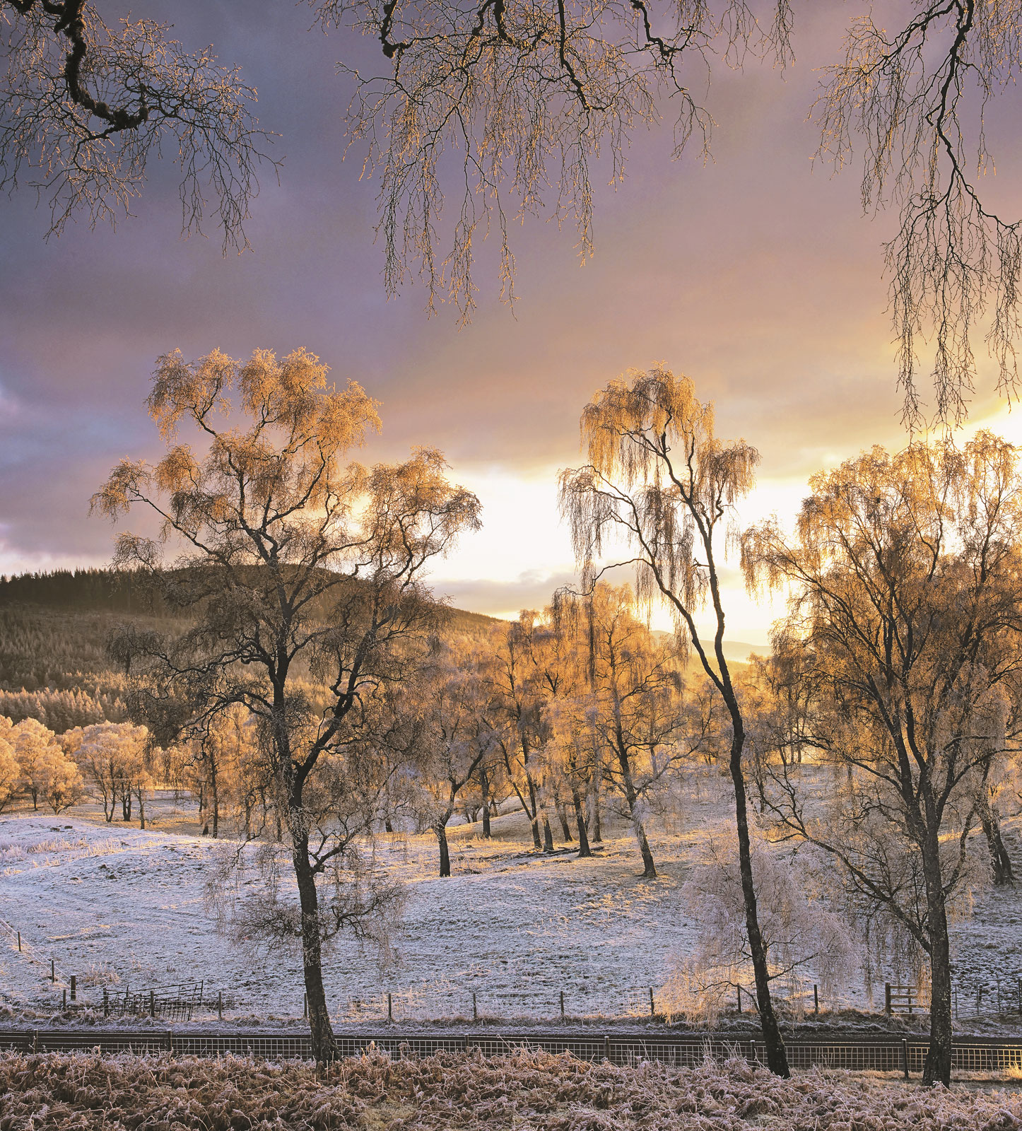 Out walking with my family one winter evening over by the river Spey I found some wonderful deep frosted birch trees white with...