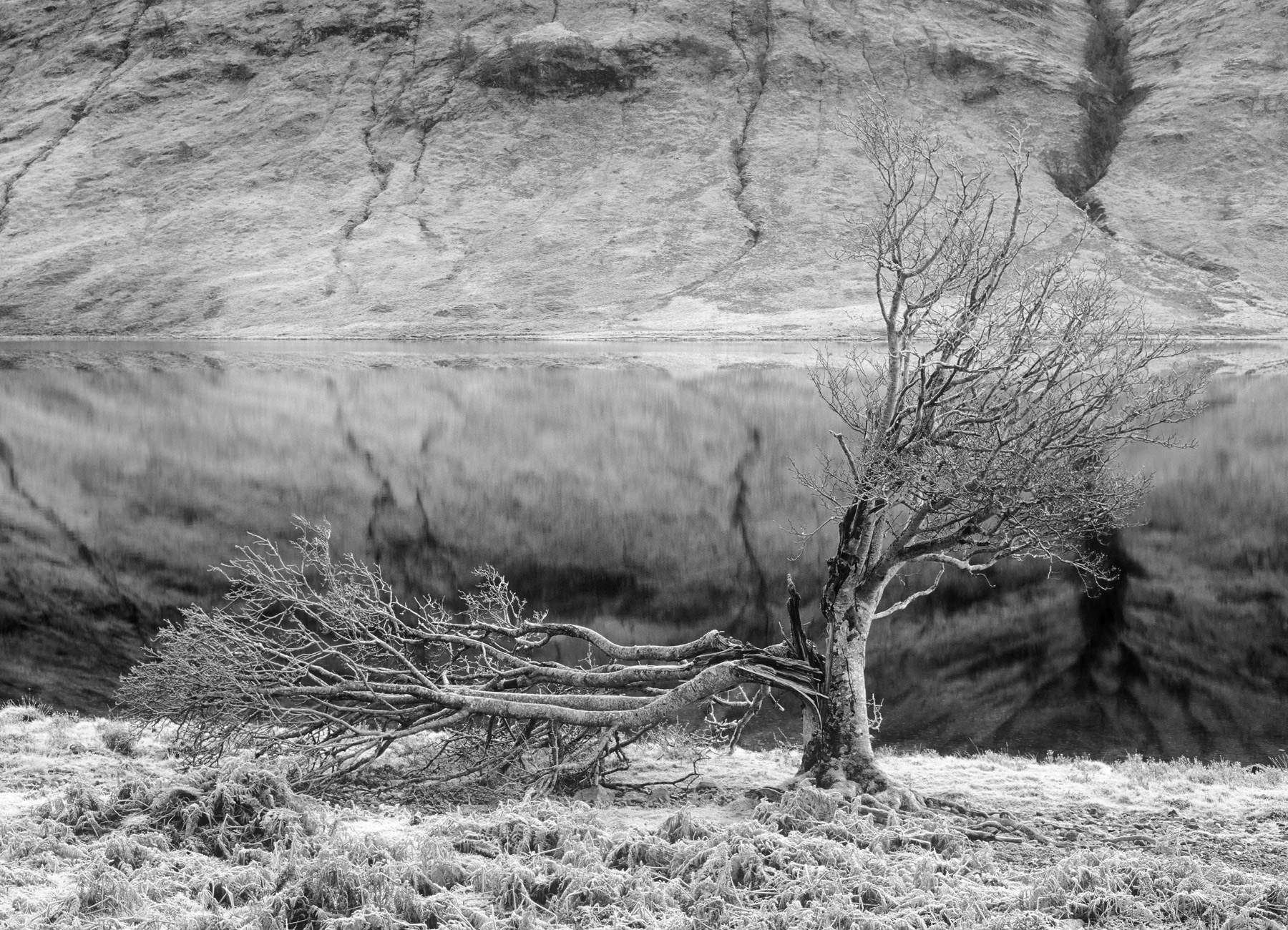 This old tree was allegedly struck by lightning at the edge of Loch a Chroisg, I suspect it is merely frost damaged either...