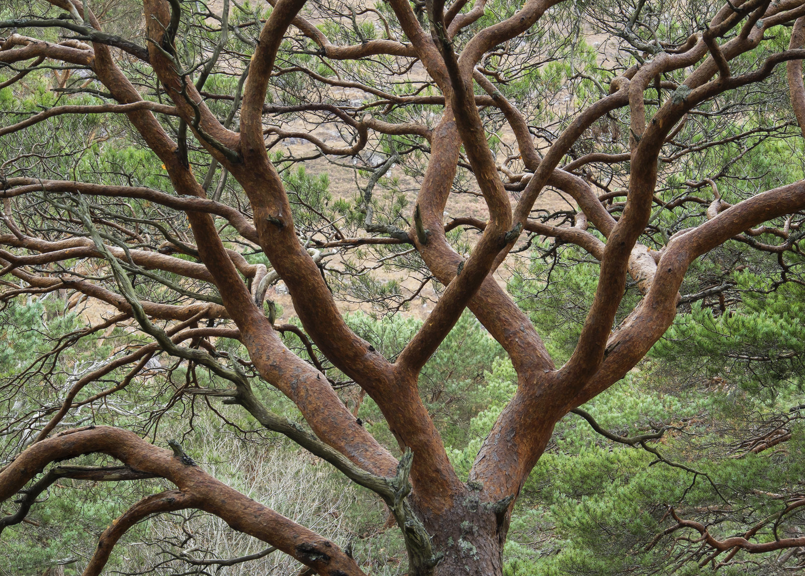 Limb From Limb, Grudie Bridge, Torridon, Scotland, native, Scots Pine, wether, shpes, branches, red, bark, green, pine n, photo