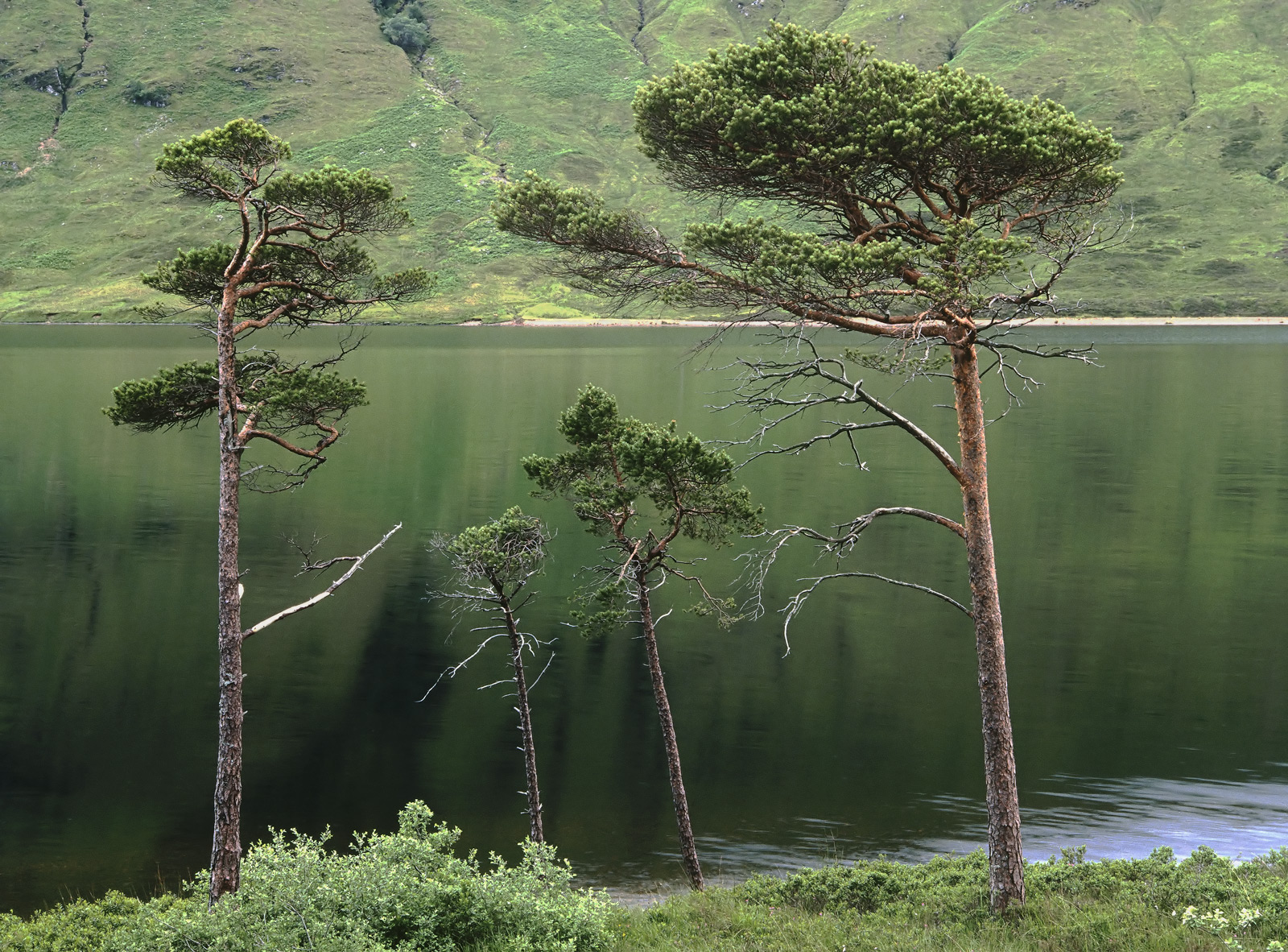 A family group of pine trees at the edge of Loch a Chroisg. Itsa place that generates superb reflections due to the...